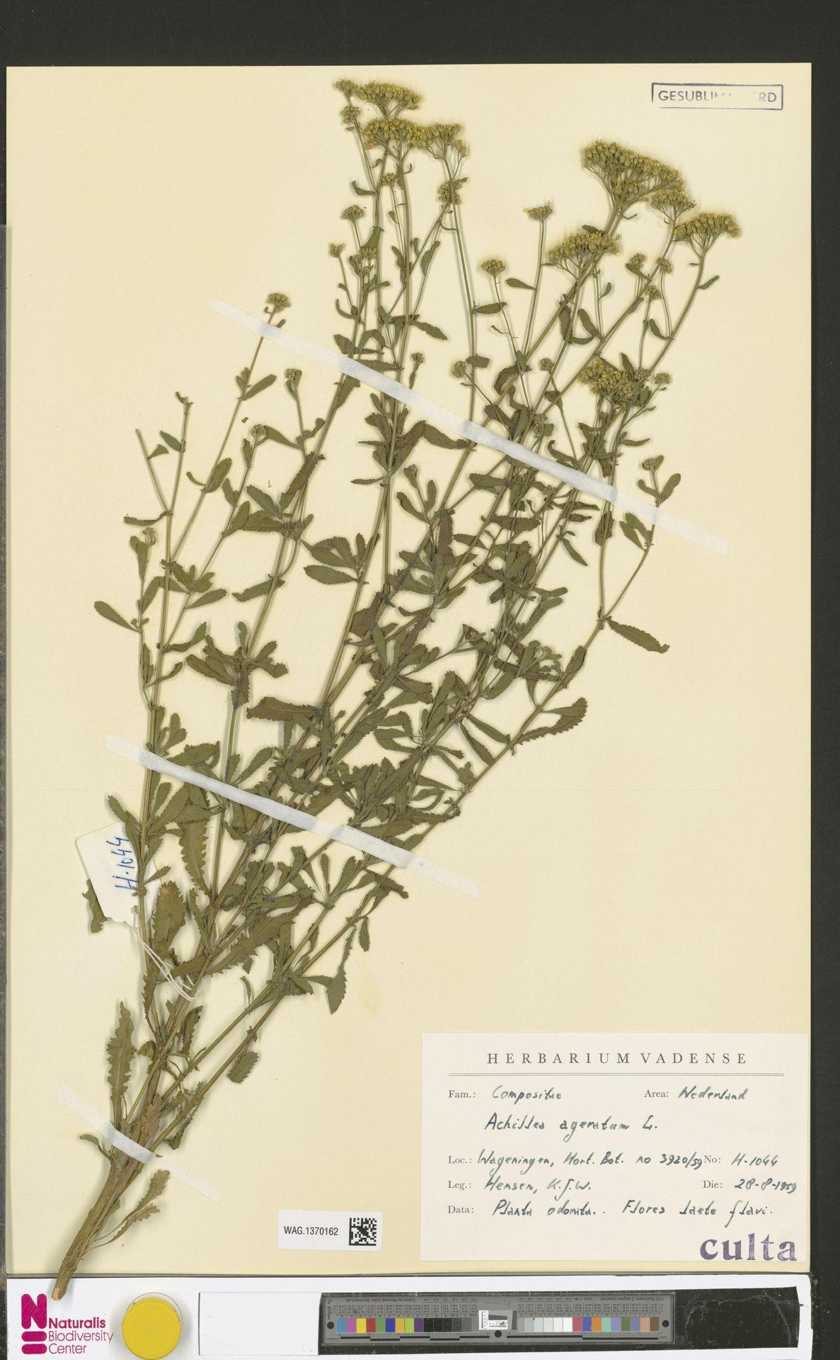 WAG.1370162 | Achillea ageratum L.