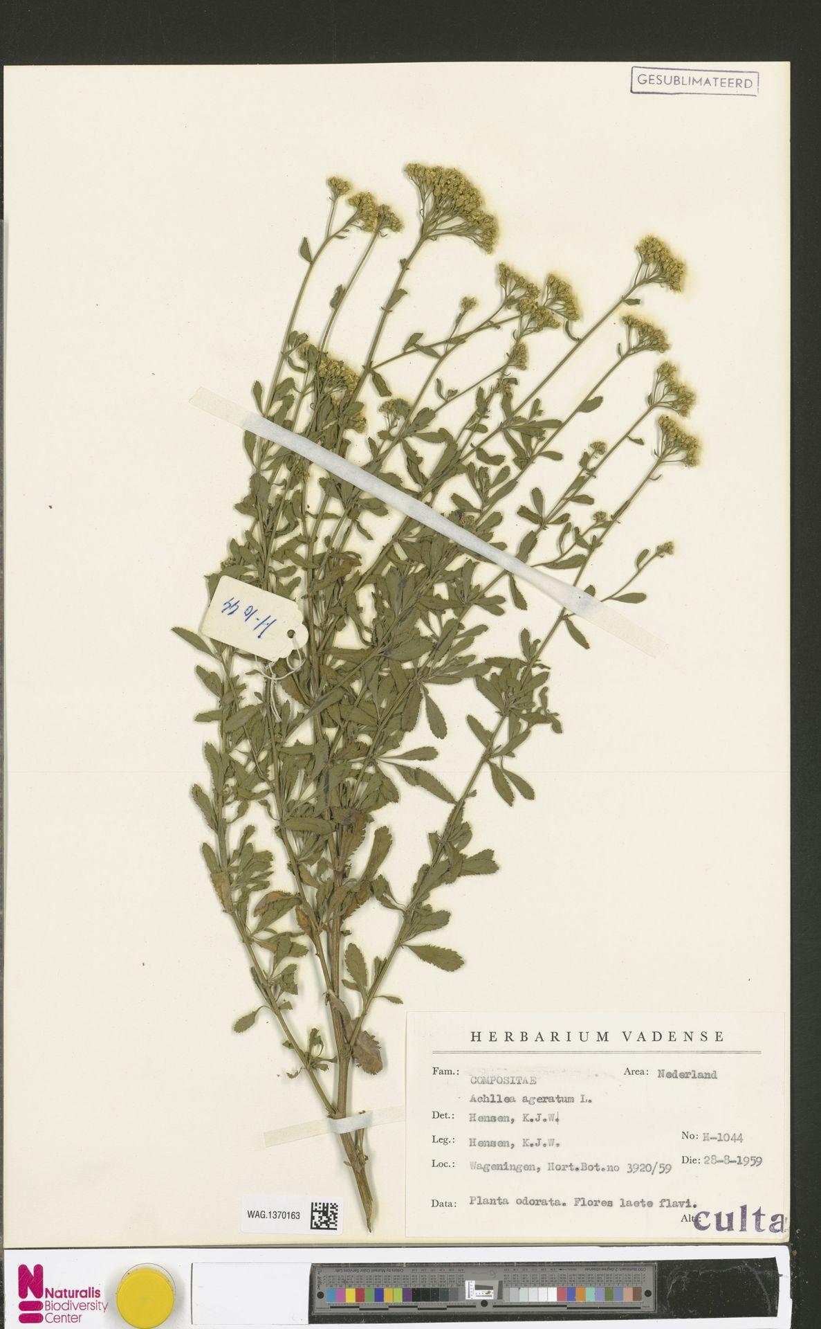 WAG.1370163 | Achillea ageratum L.