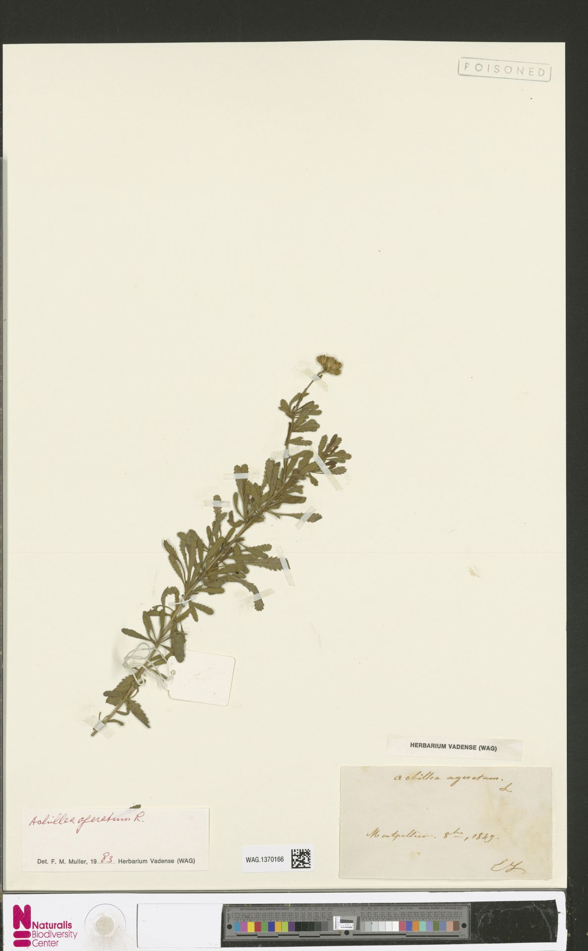 WAG.1370166   Achillea ageratum L.