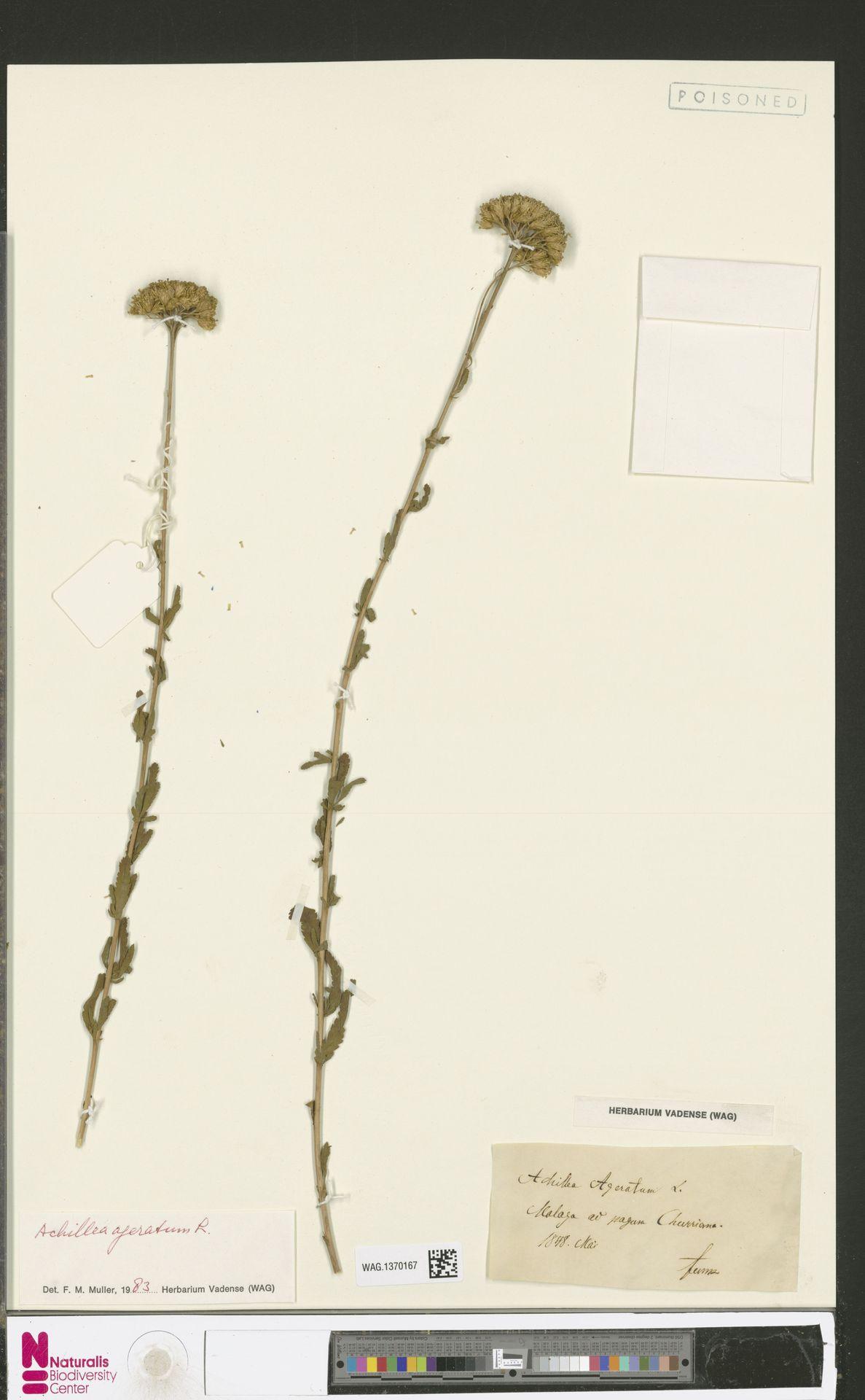 WAG.1370167 | Achillea ageratum L.