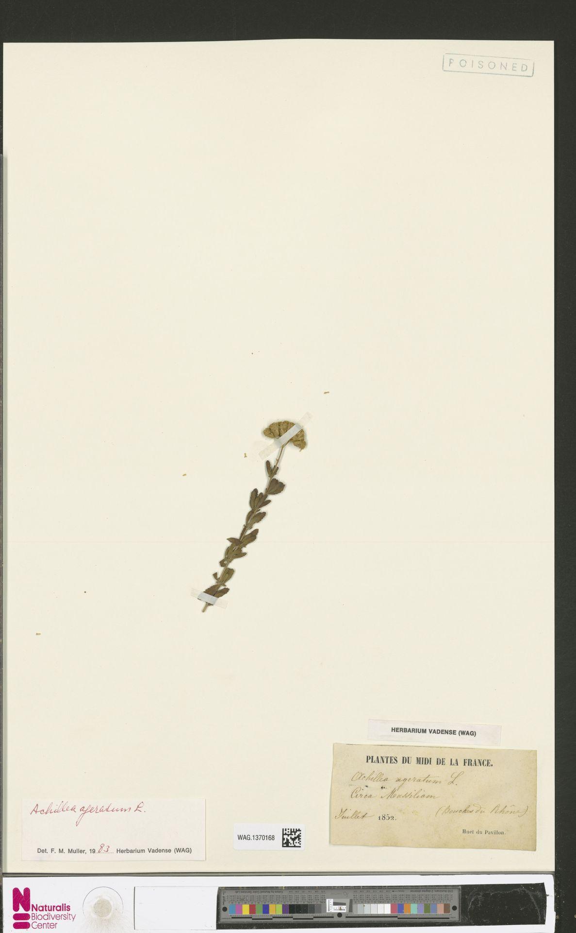 WAG.1370168 | Achillea ageratum L.