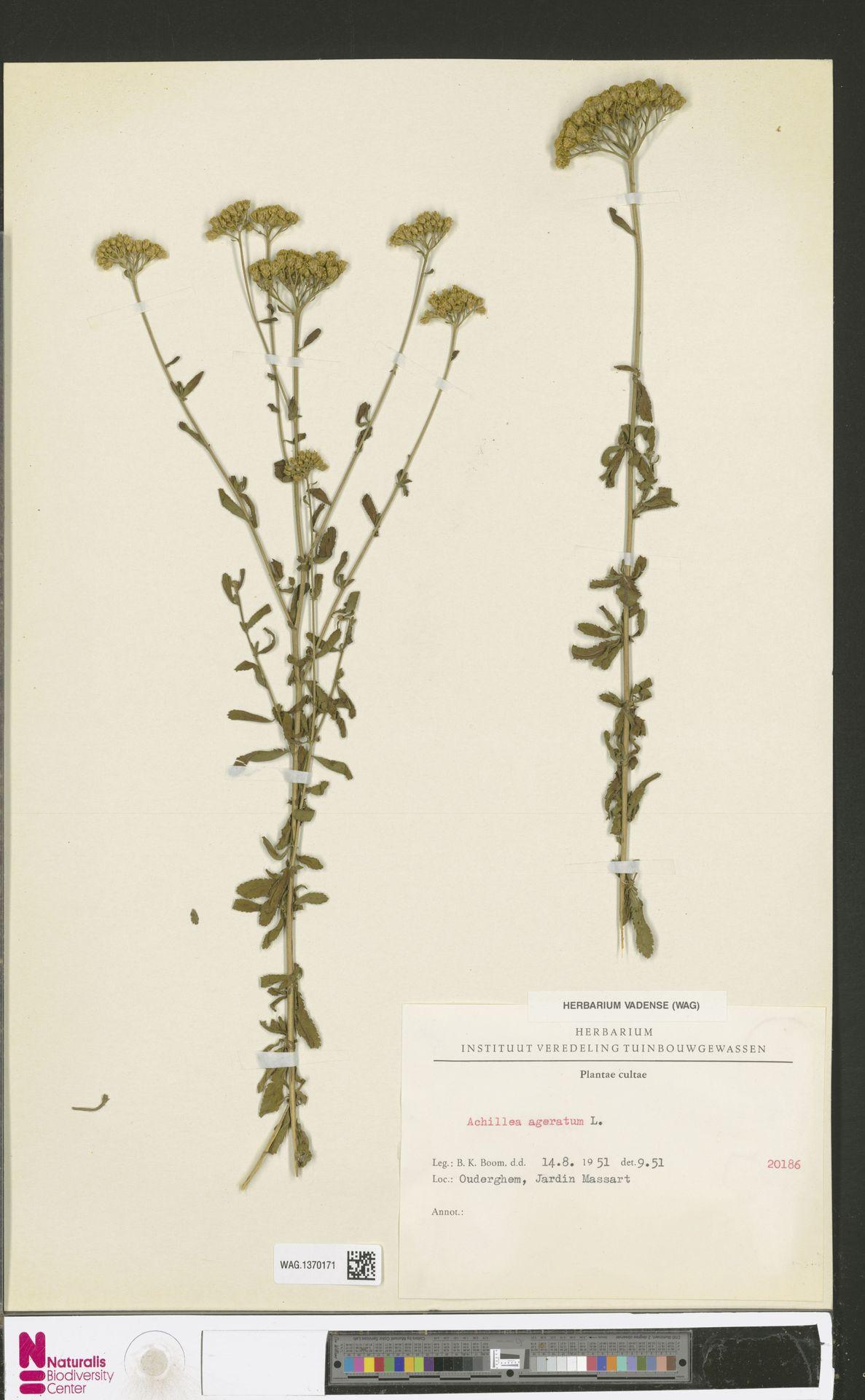 WAG.1370171   Achillea ageratum L.