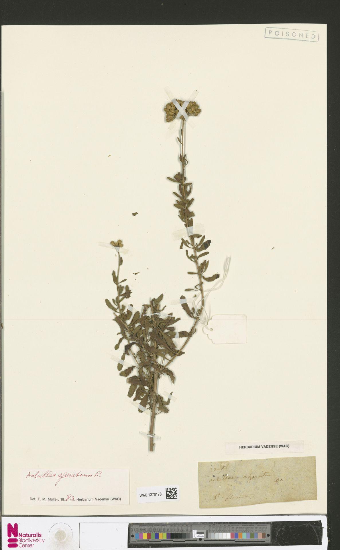 WAG.1370178 | Achillea ageratum L.