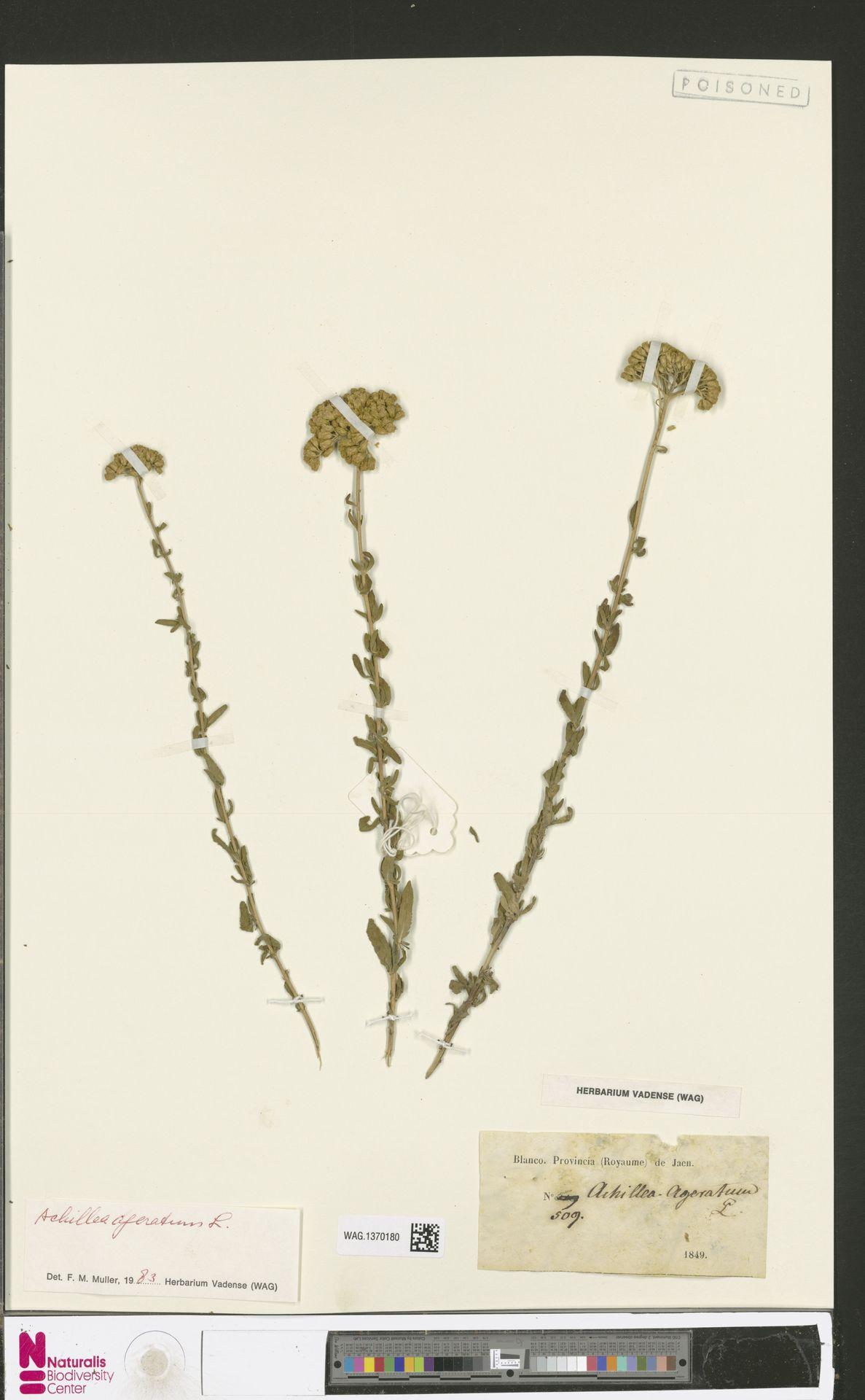 WAG.1370180 | Achillea ageratum L.