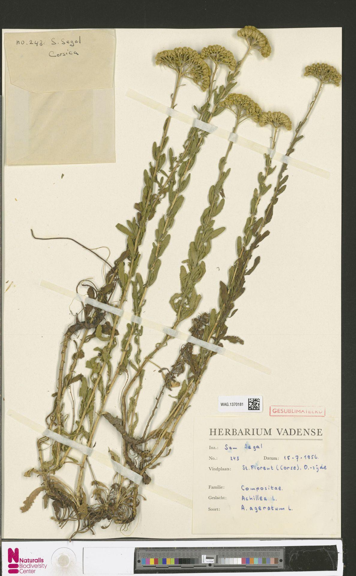 WAG.1370181 | Achillea ageratum L.