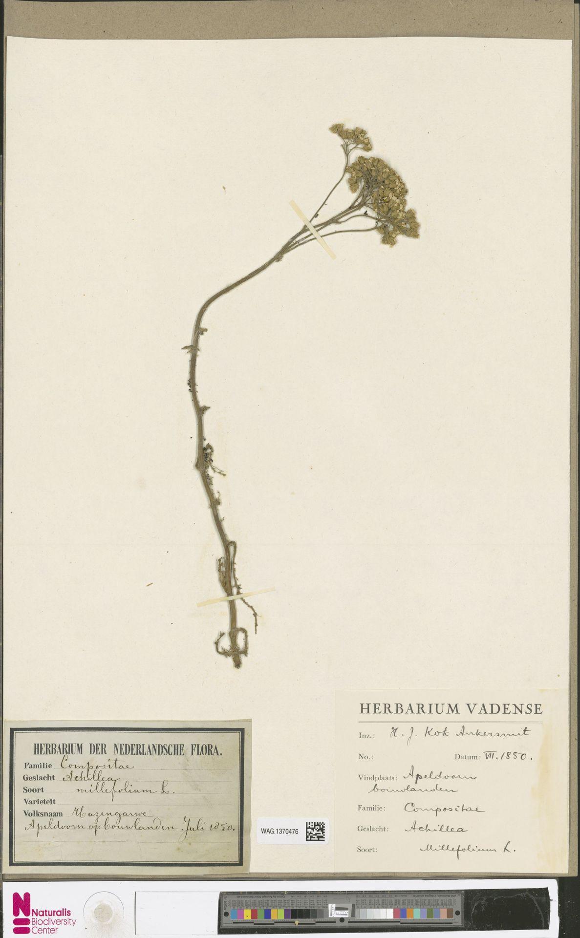 WAG.1370476 | Achillea millefolium L.