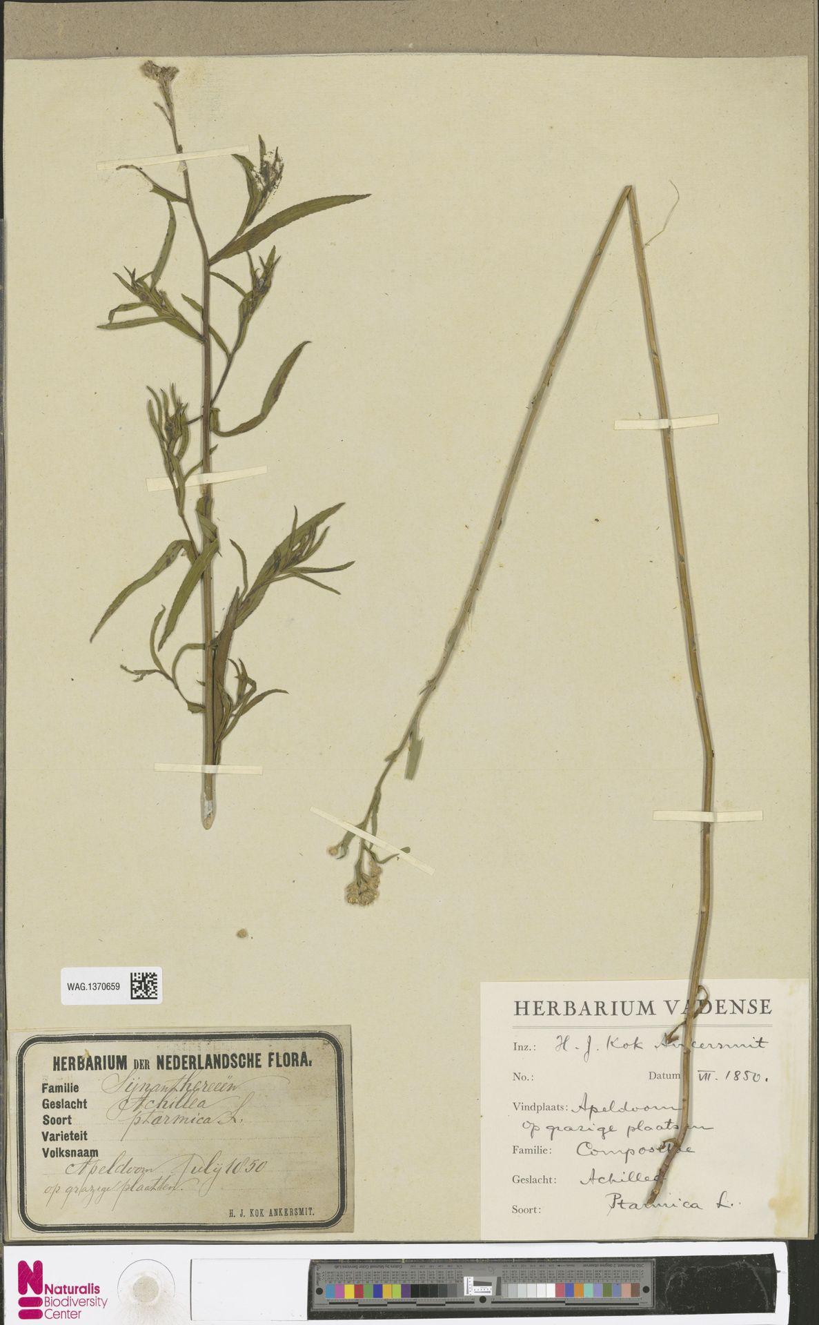 WAG.1370659 | Achillea ptarmica L.