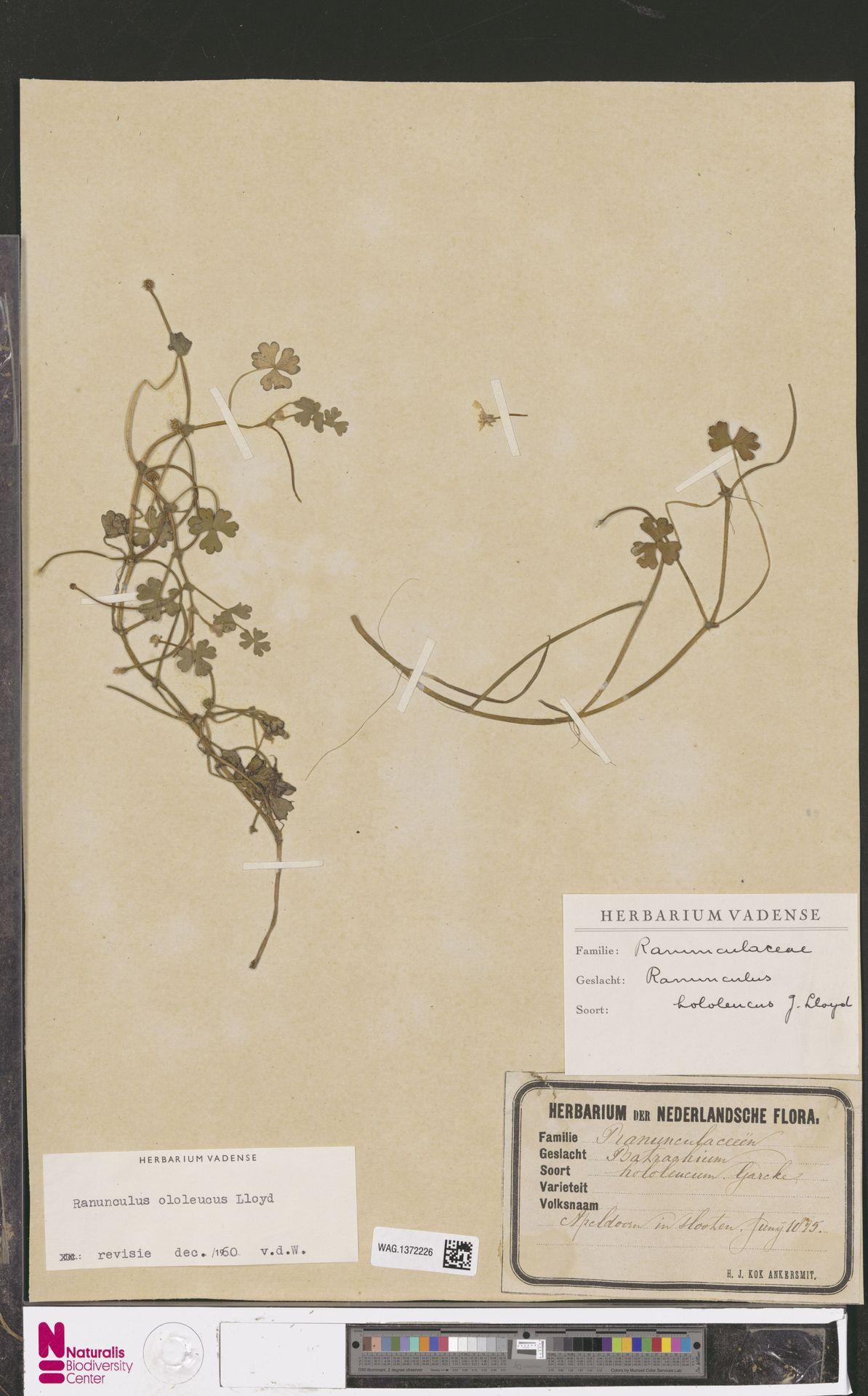 WAG.1372226 | Ranunculus ololeucos Lloyd