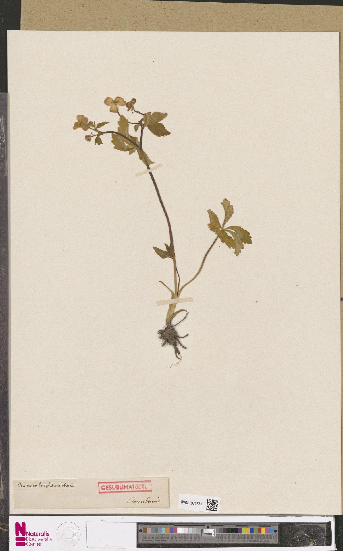 WAG.1372387 | Ranunculus platanifolius L.