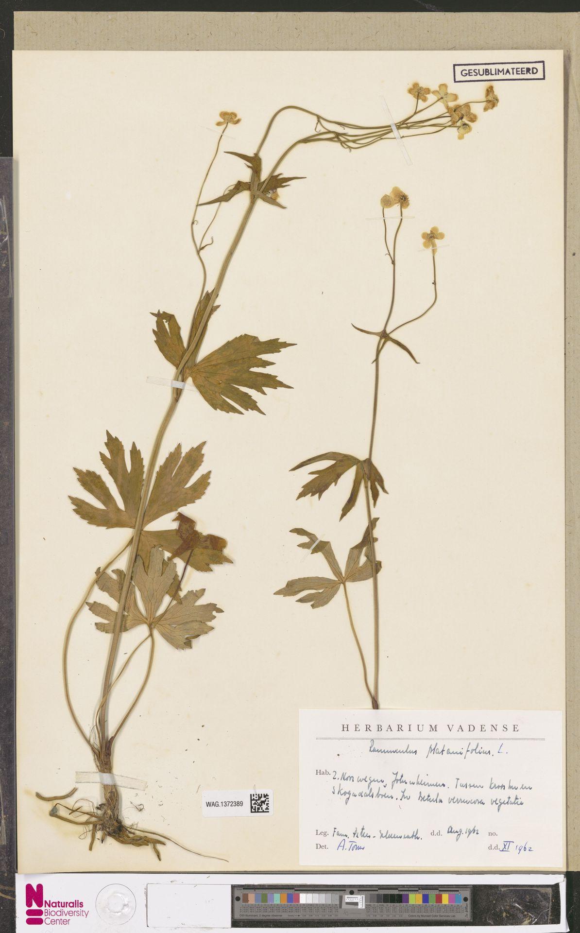 WAG.1372389   Ranunculus platanifolius L.