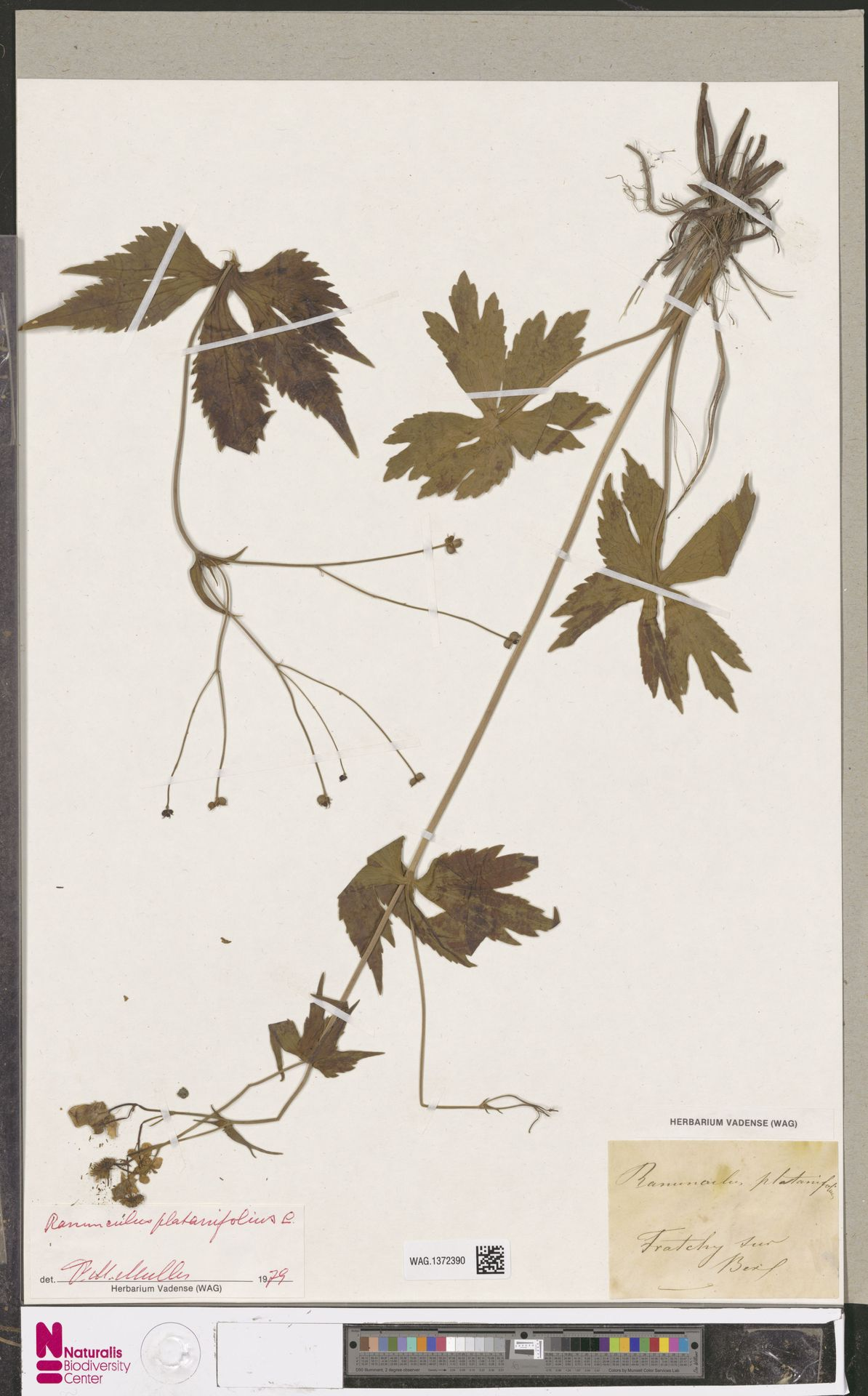 WAG.1372390 | Ranunculus platanifolius L.