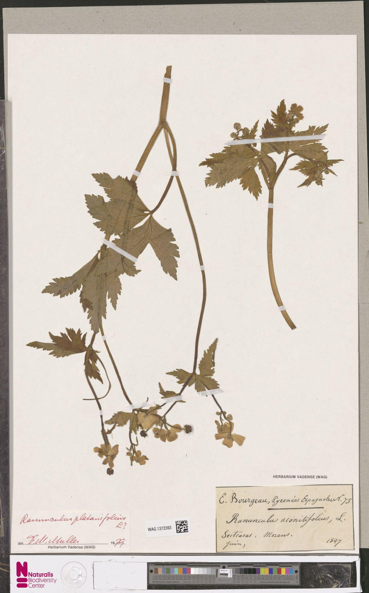 WAG.1372393 | Ranunculus platanifolius L.