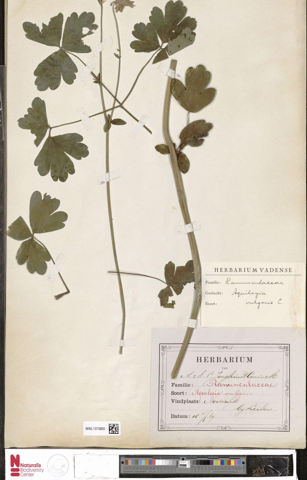 WAG.1373850 | Aquilegia vulgaris L.