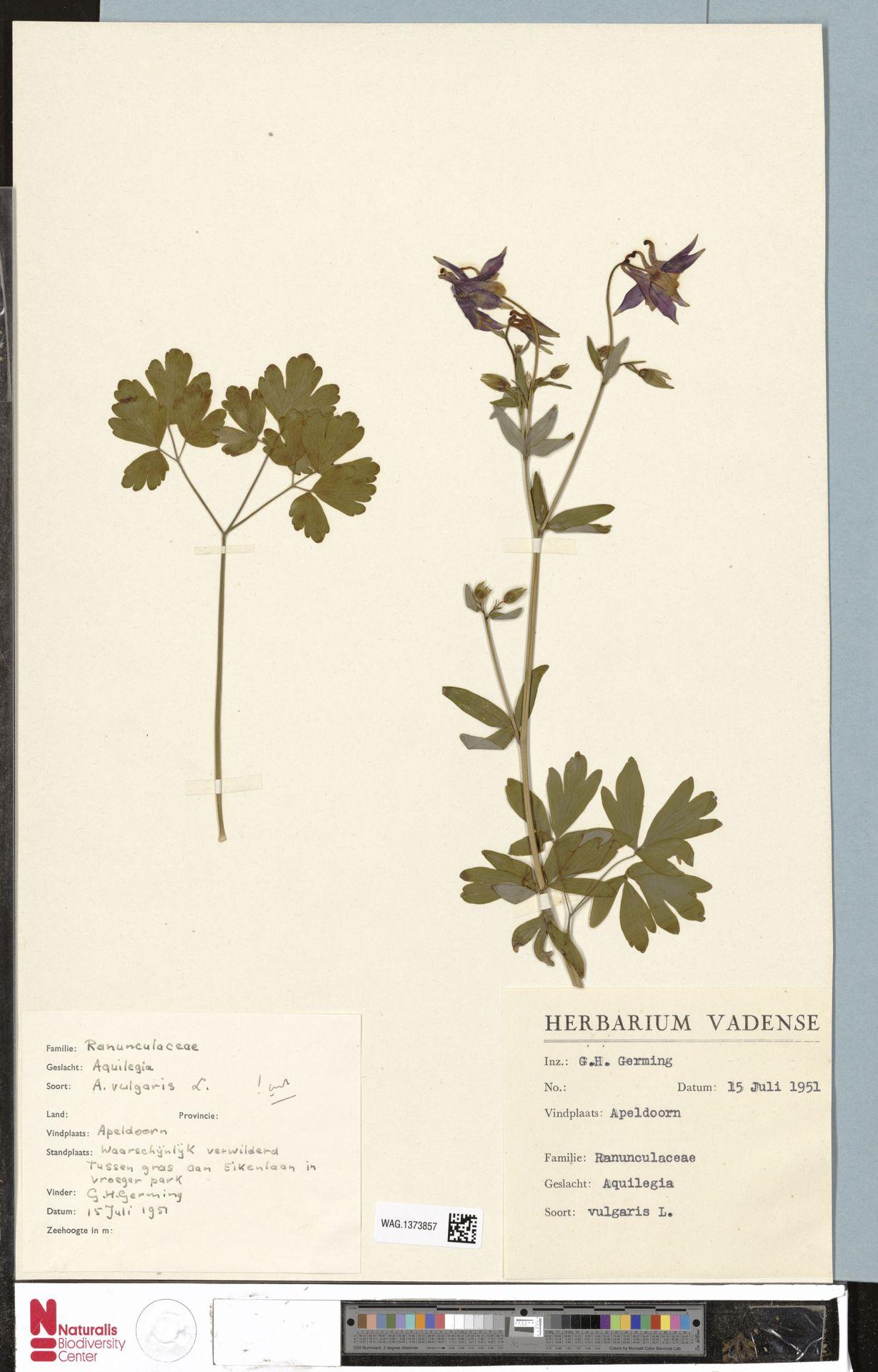 WAG.1373857 | Aquilegia vulgaris L.