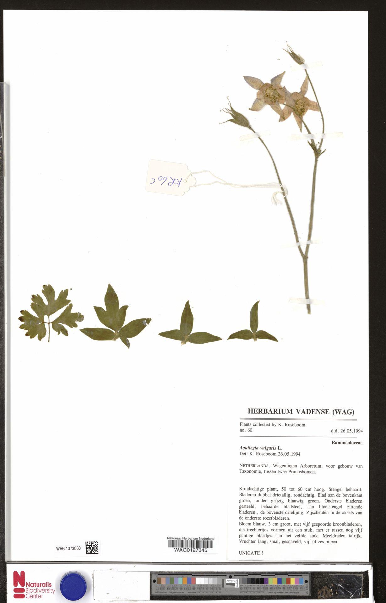 WAG.1373860 | Aquilegia vulgaris L.