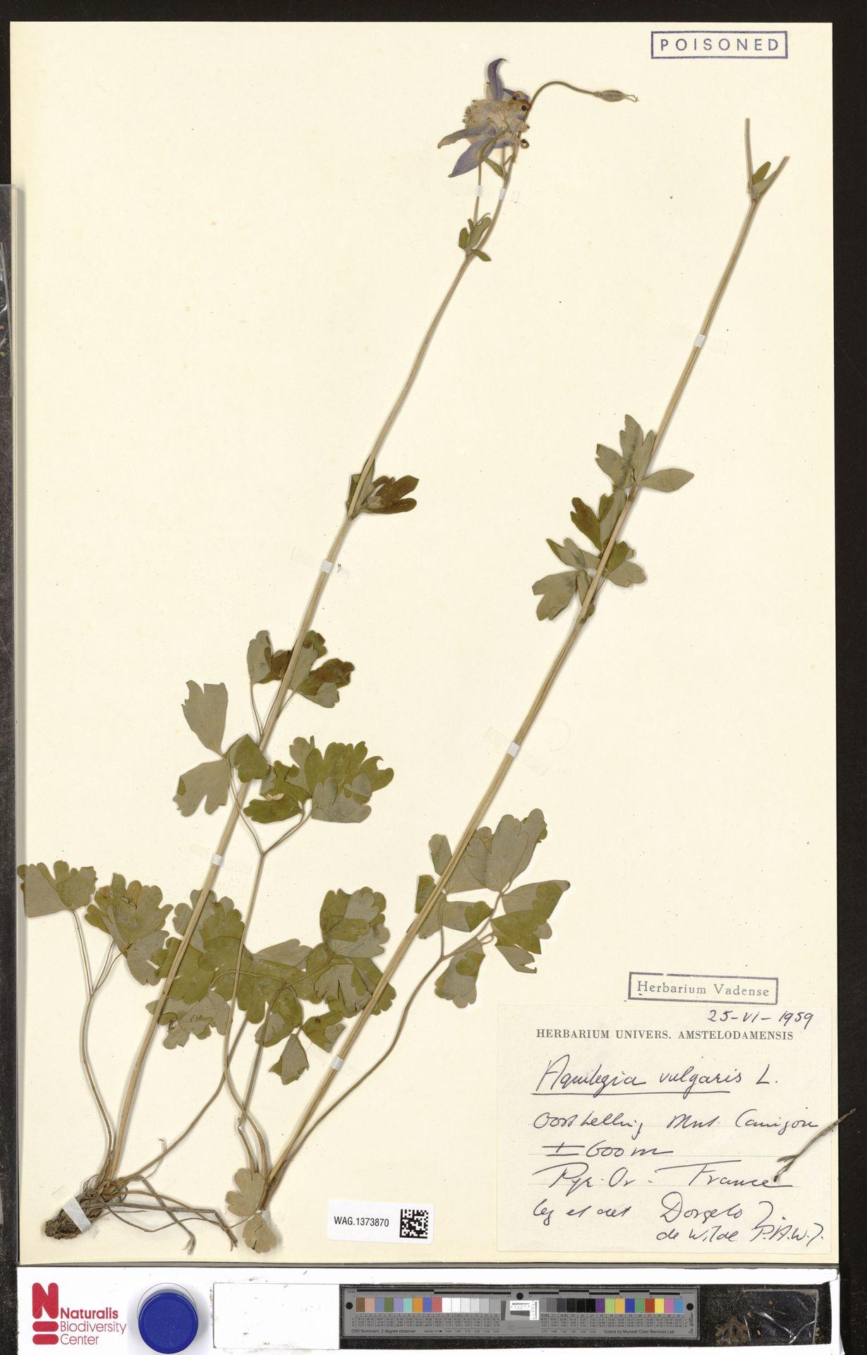 WAG.1373870 | Aquilegia vulgaris L.