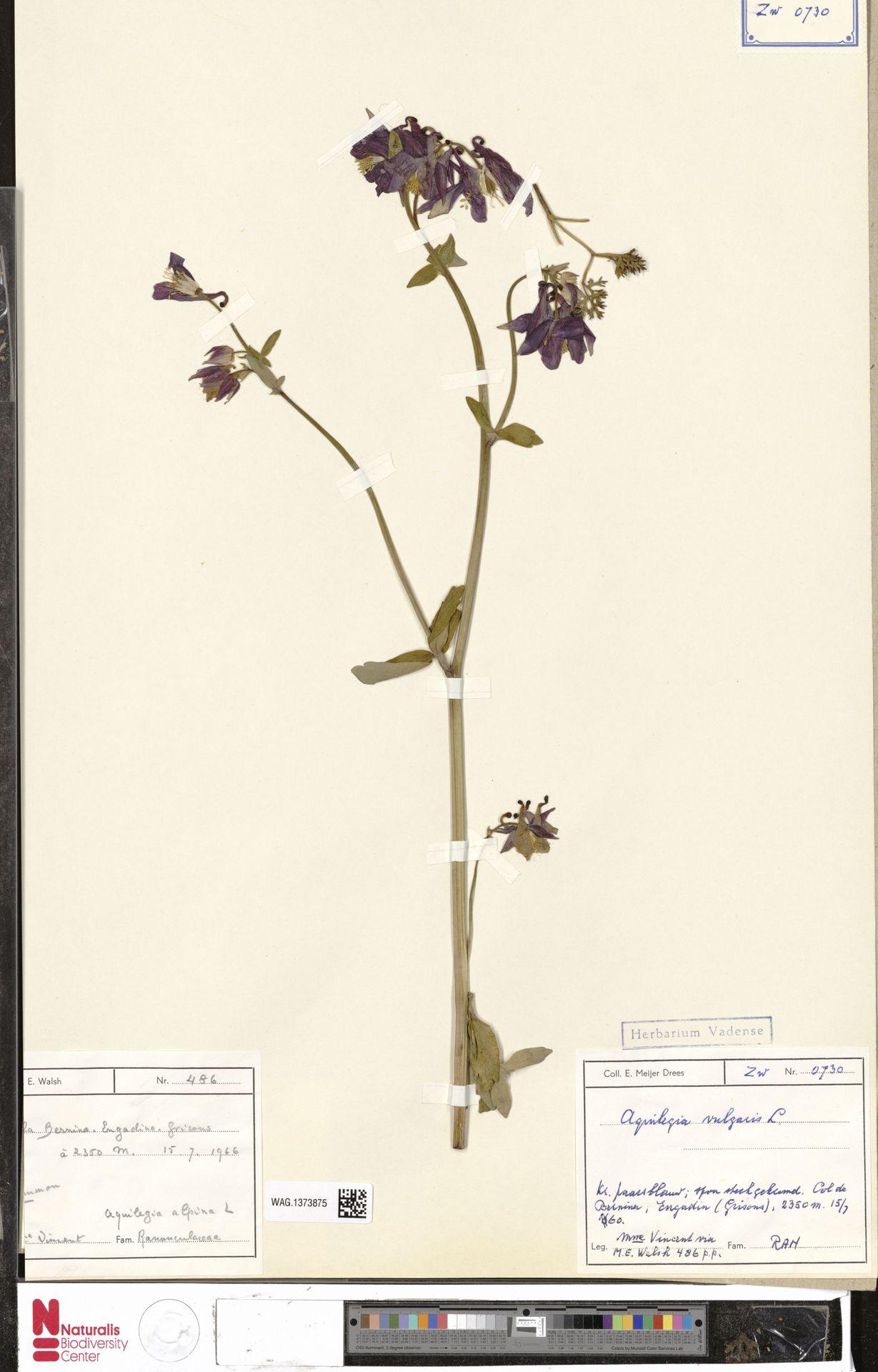 WAG.1373875   Aquilegia vulgaris L.