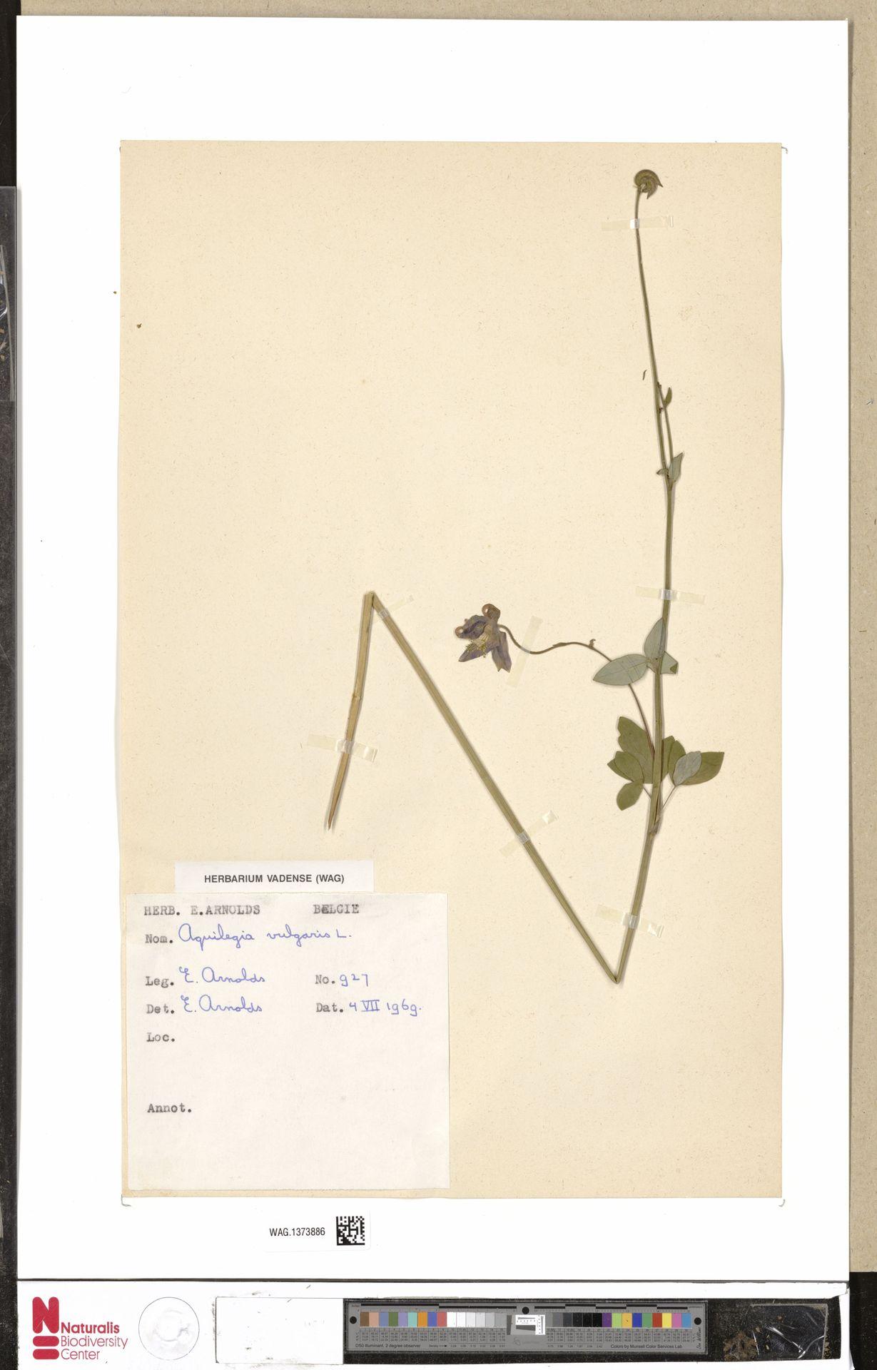 WAG.1373886 | Aquilegia vulgaris L.