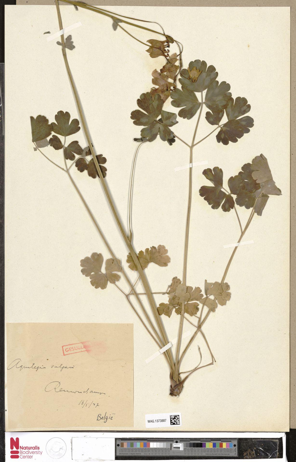 WAG.1373887 | Aquilegia vulgaris L.