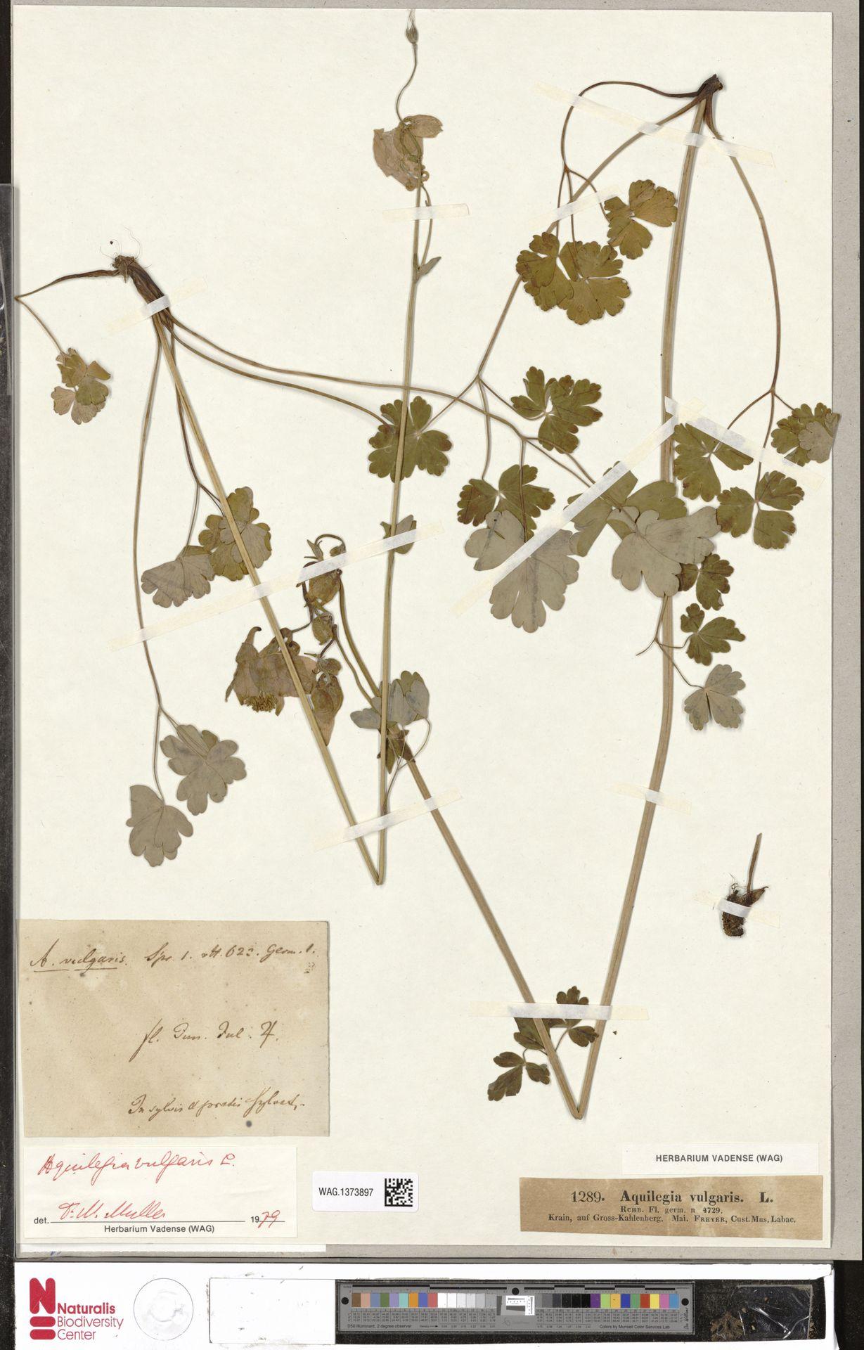 WAG.1373897 | Aquilegia vulgaris L.