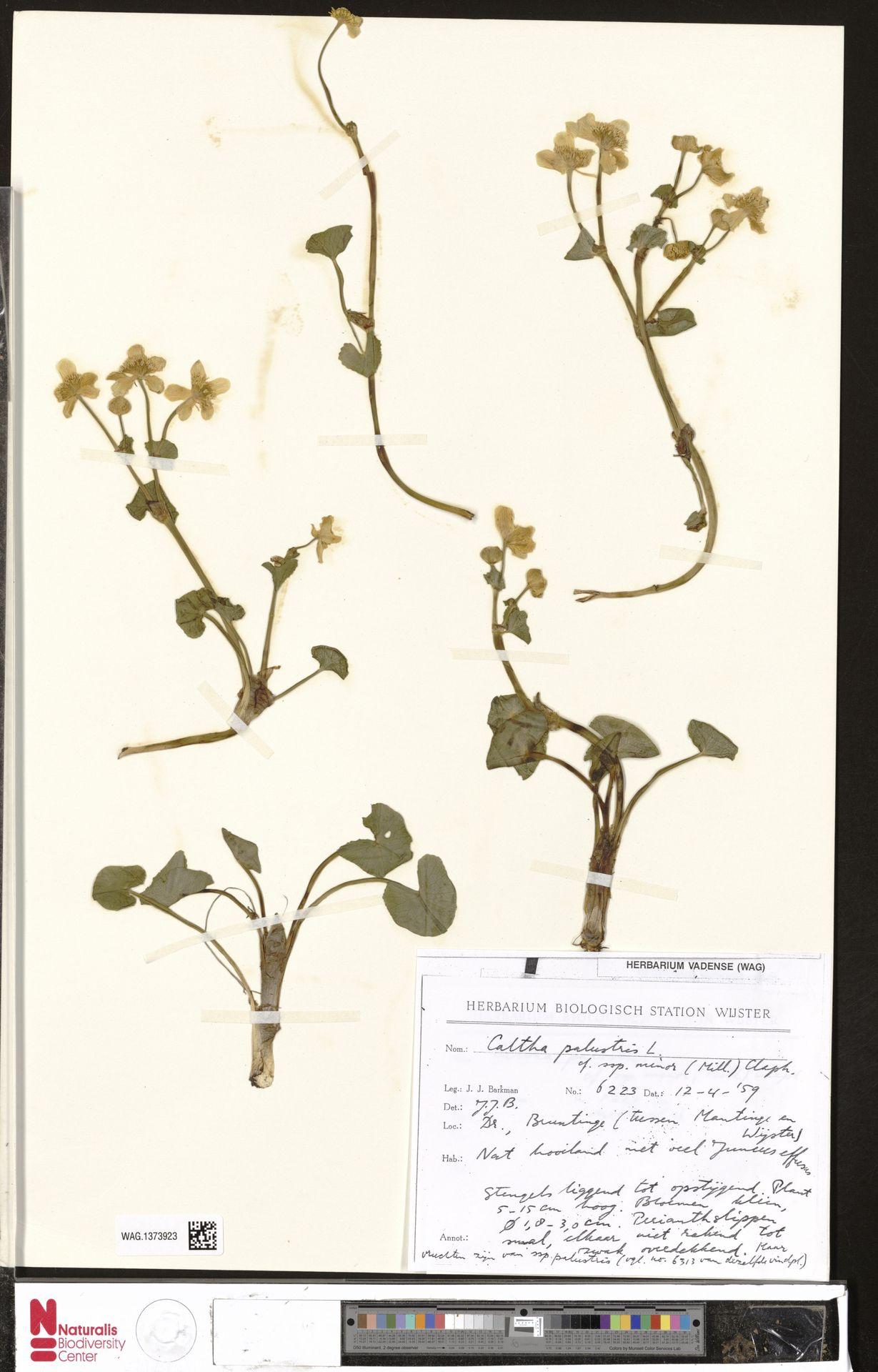 WAG.1373923 | Caltha palustris L.