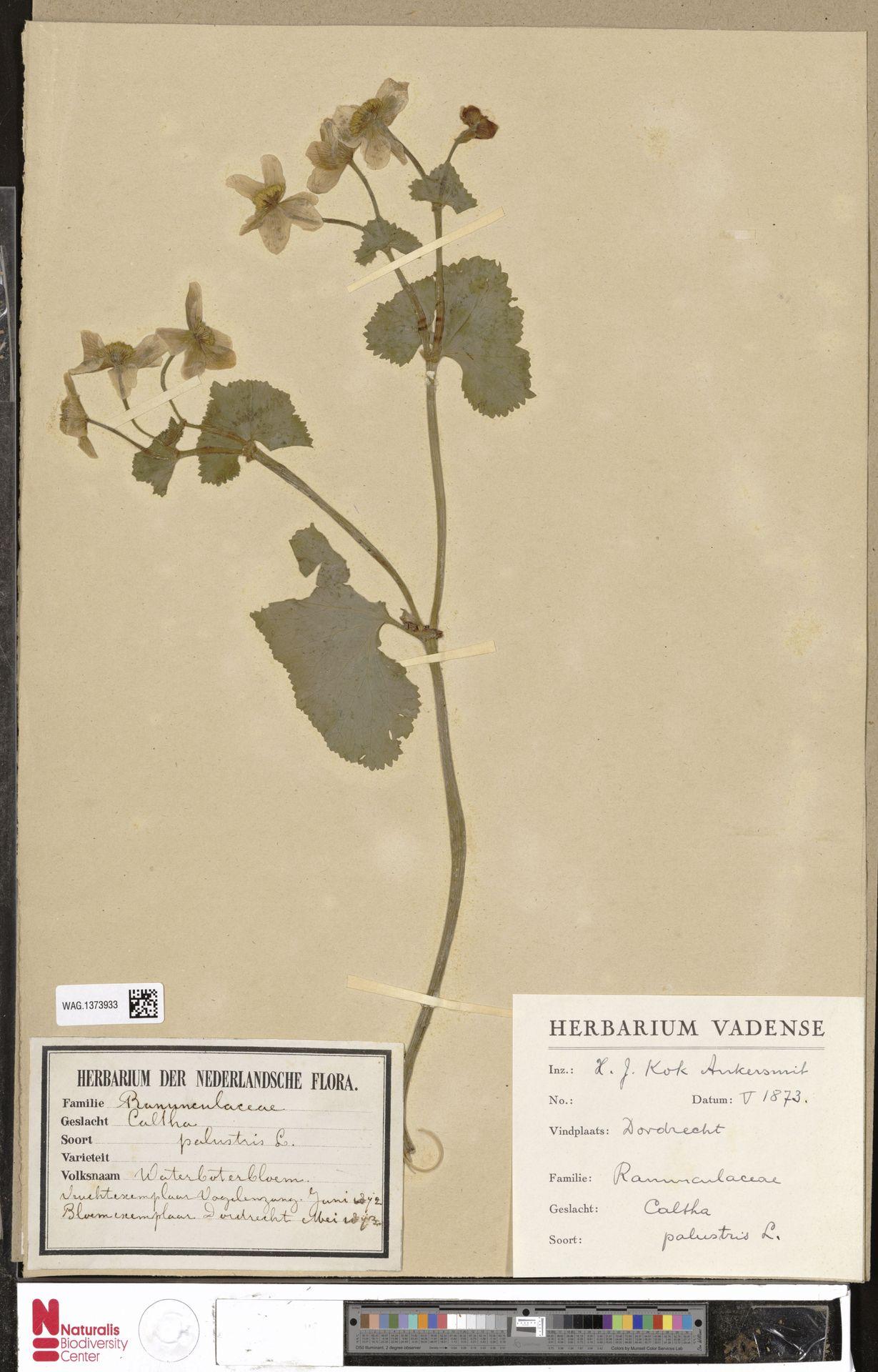 WAG.1373933 | Caltha palustris L.