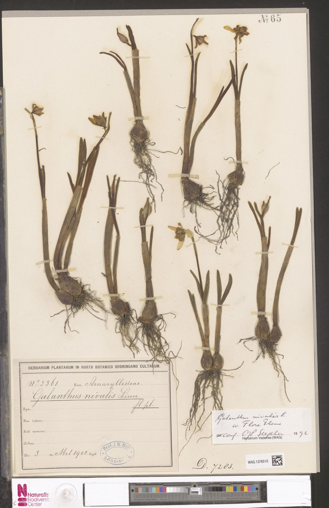 WAG.1376510 | Galanthus nivalis L.