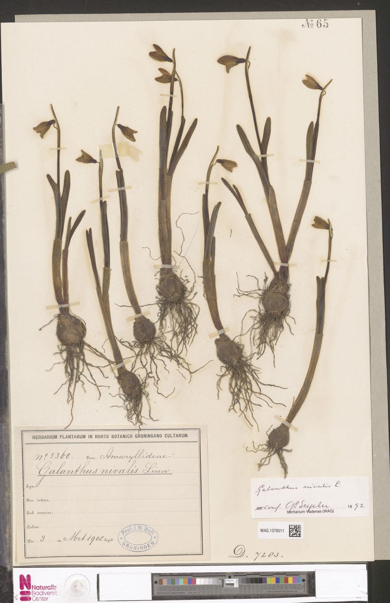 WAG.1376511 | Galanthus nivalis L.