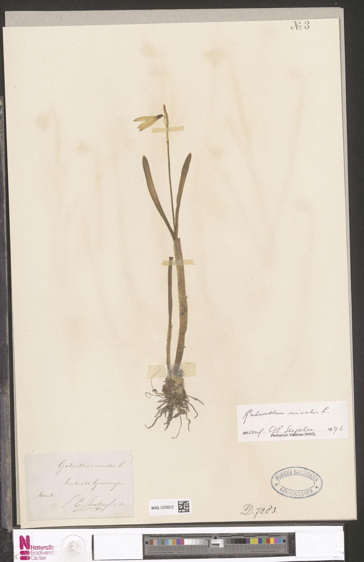 WAG.1376512 | Galanthus nivalis L.