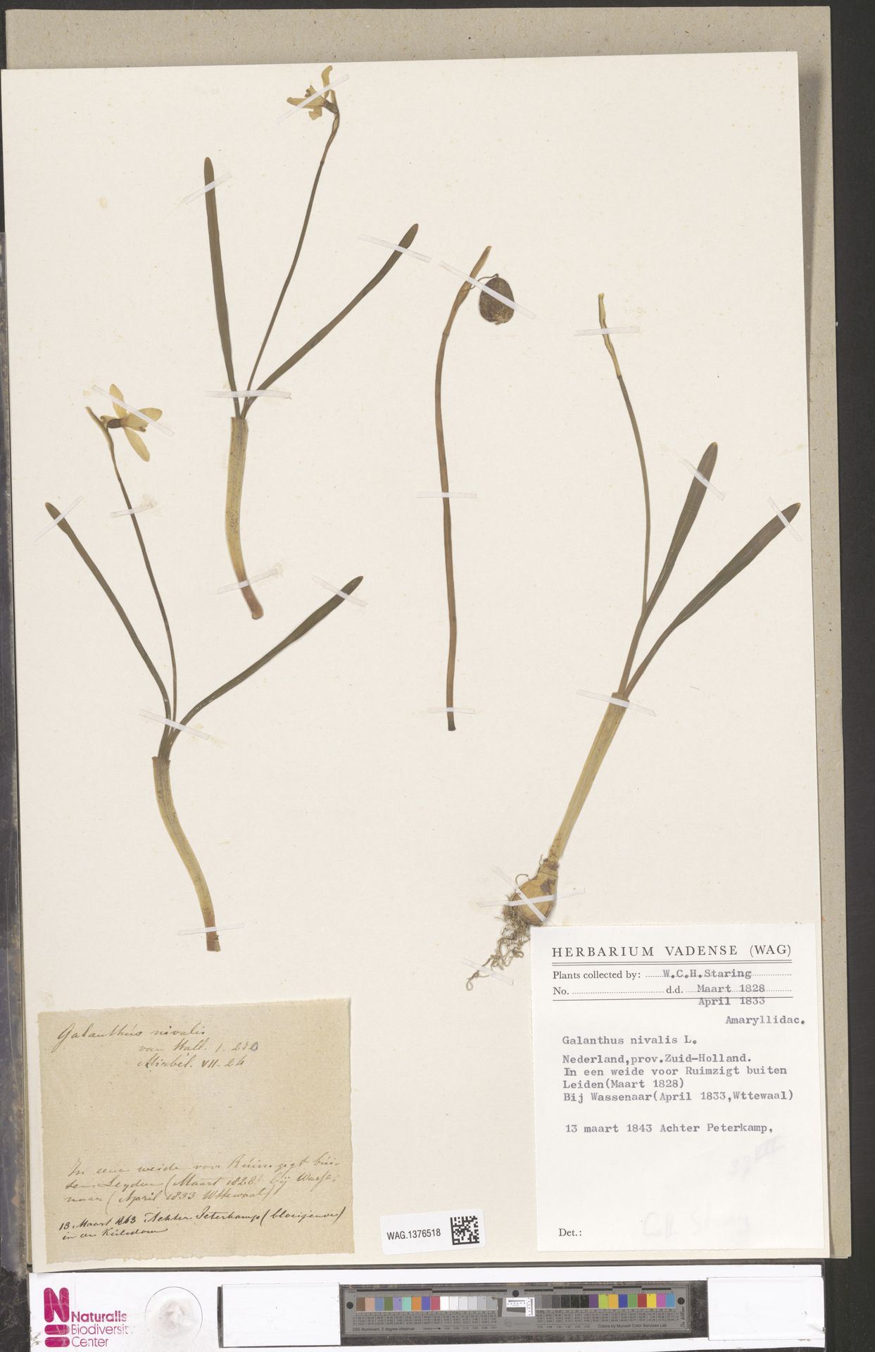 WAG.1376518 | Galanthus nivalis L.