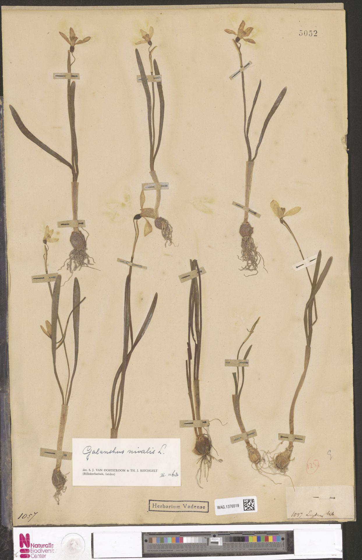 WAG.1376519 | Galanthus nivalis L.