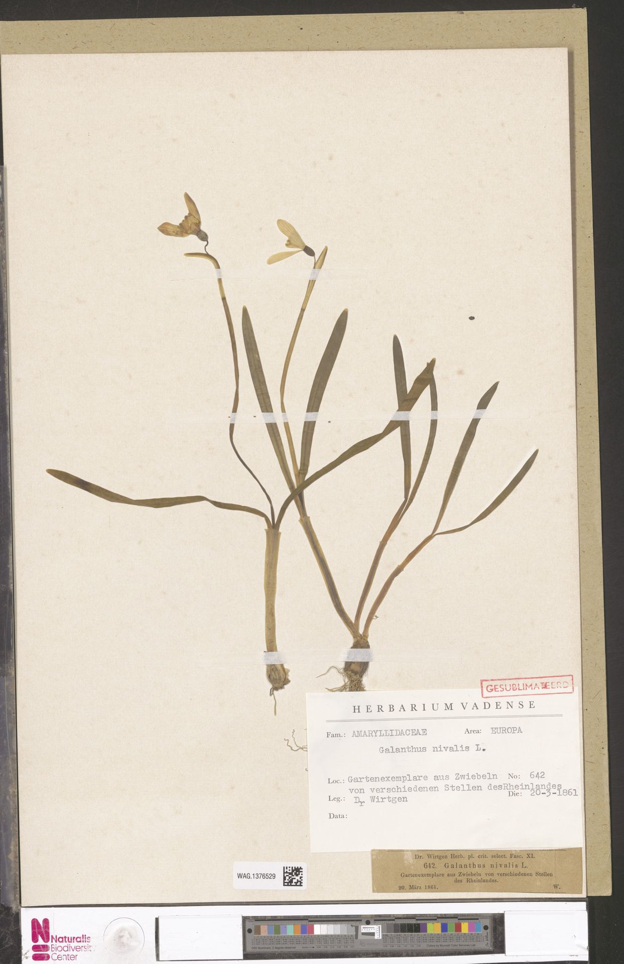 WAG.1376529 | Galanthus nivalis L.