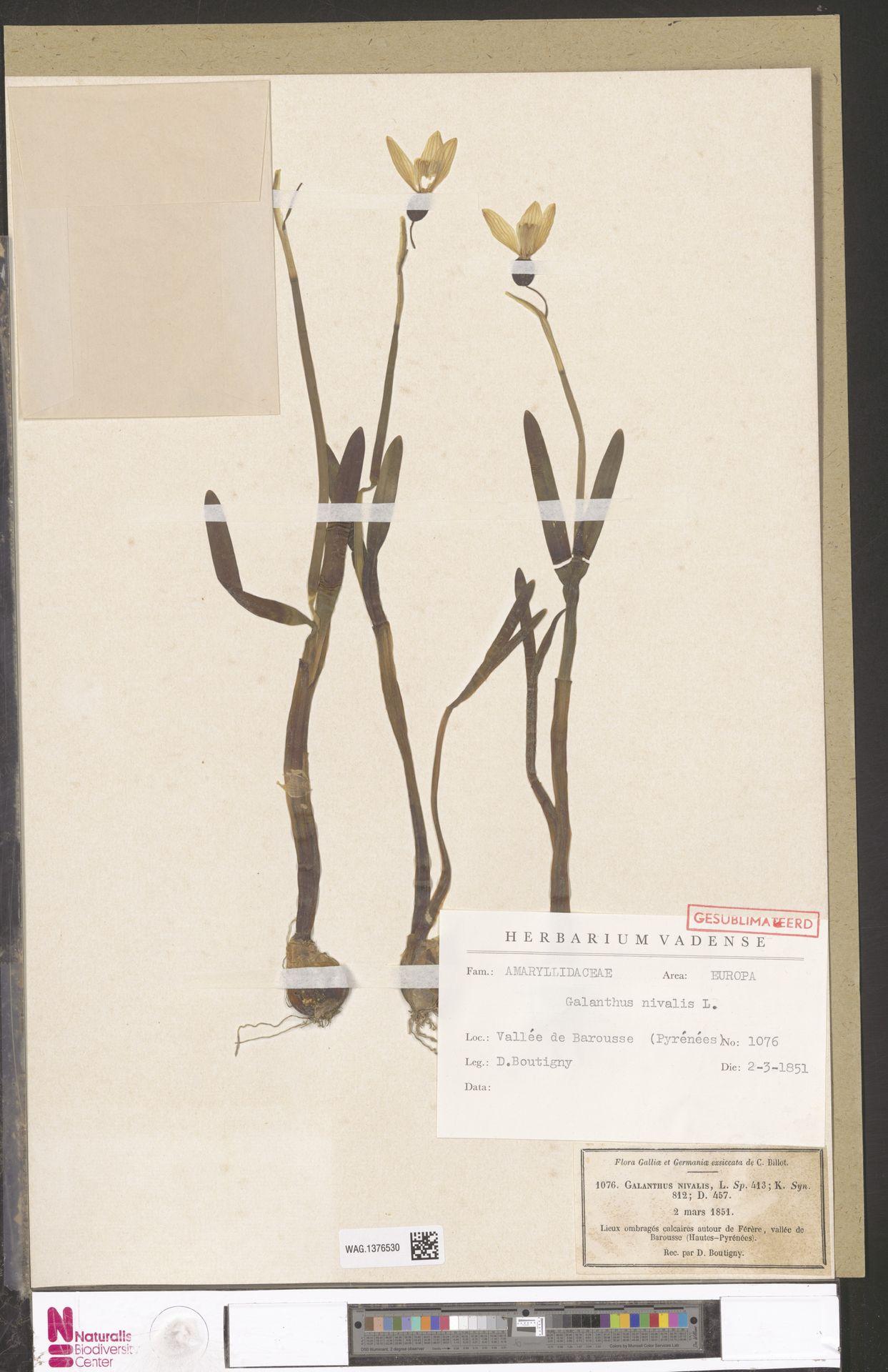 WAG.1376530 | Galanthus nivalis L.