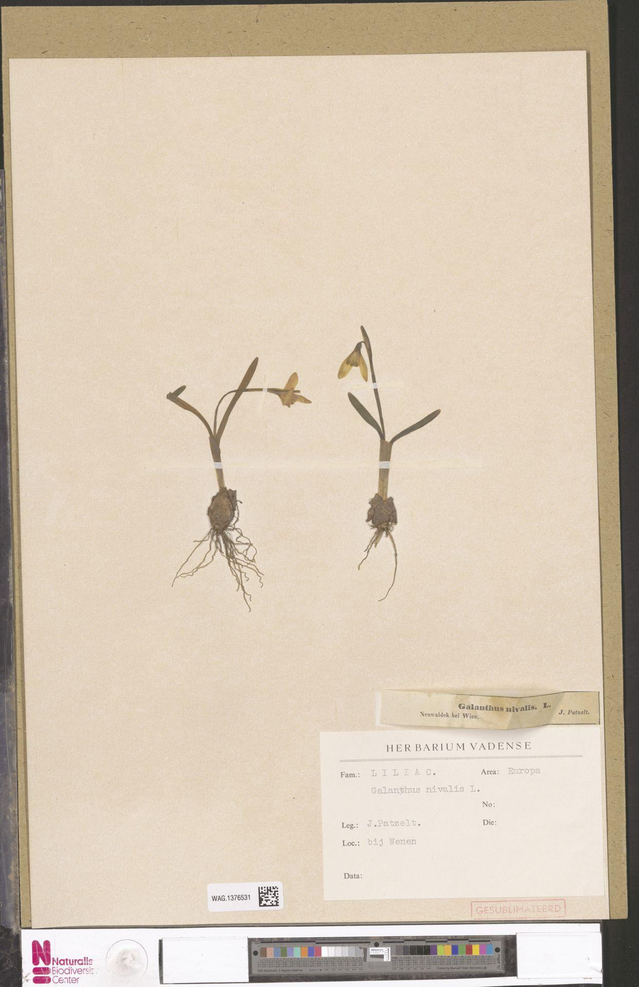 WAG.1376531 | Galanthus nivalis L.