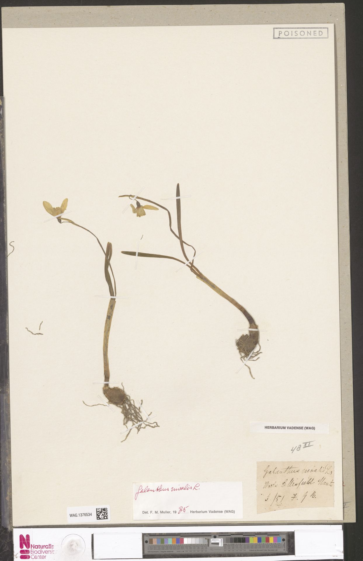WAG.1376534 | Galanthus nivalis L.