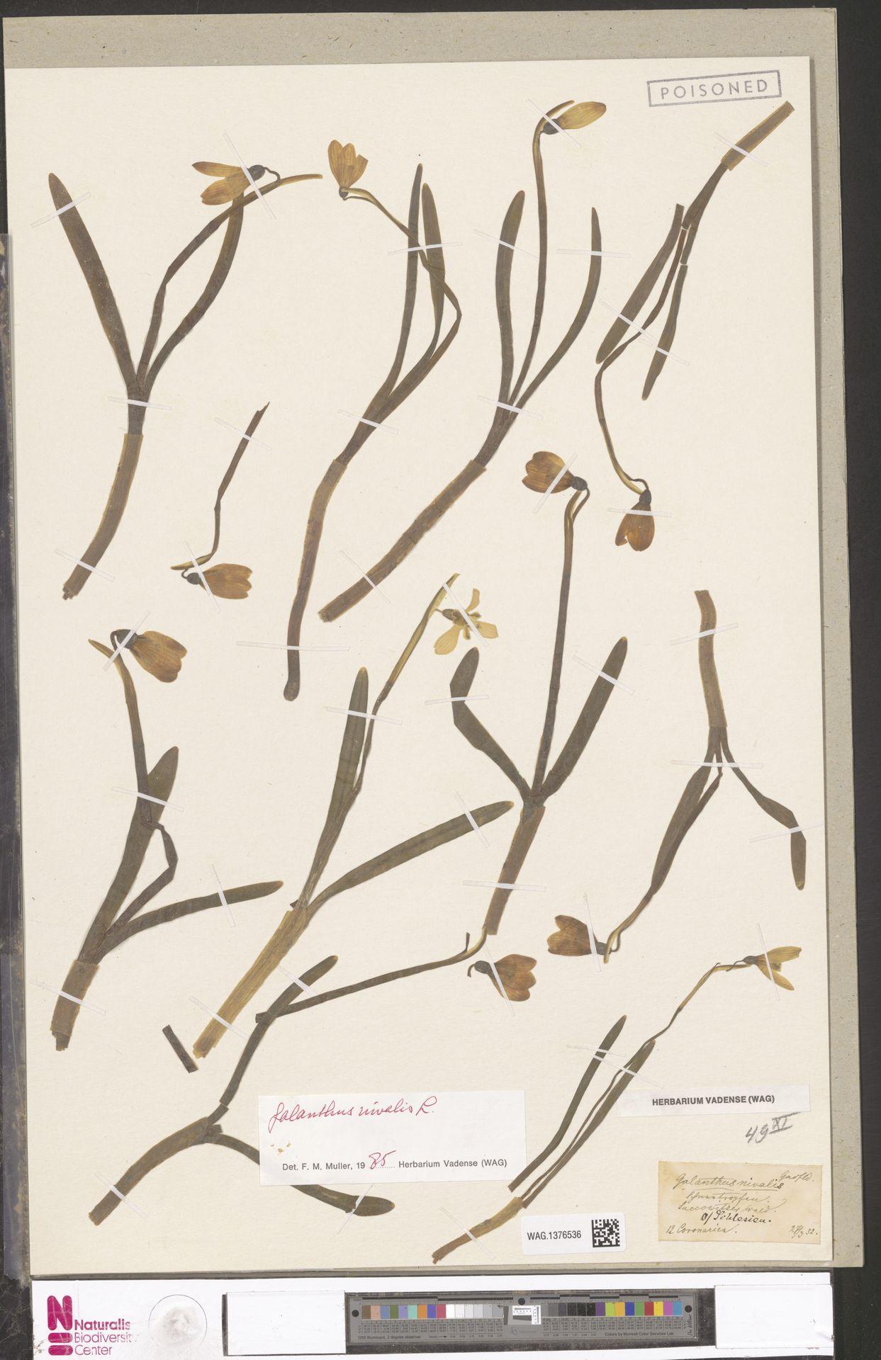 WAG.1376536 | Galanthus nivalis L.