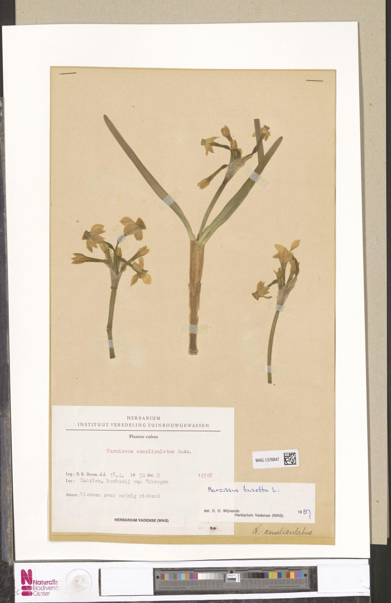 WAG.1376847 | Narcissus tazetta L.