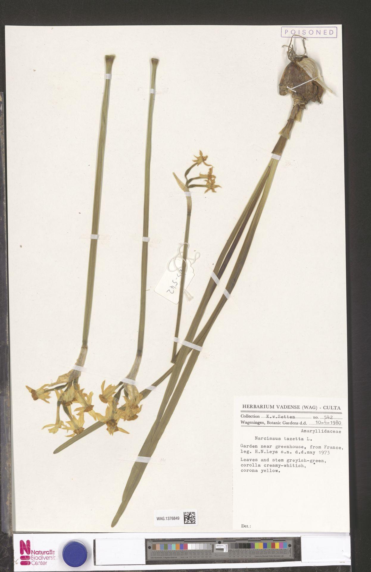 WAG.1376849 | Narcissus tazetta L.