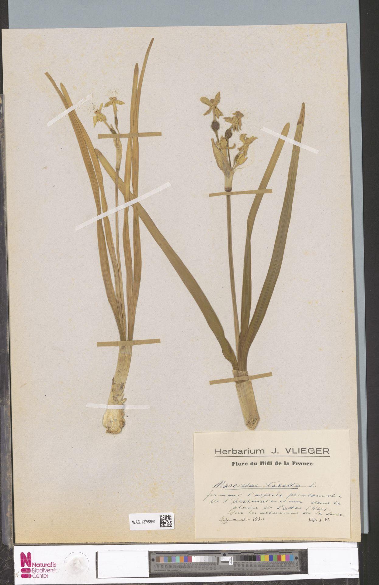 WAG.1376850 | Narcissus tazetta L.