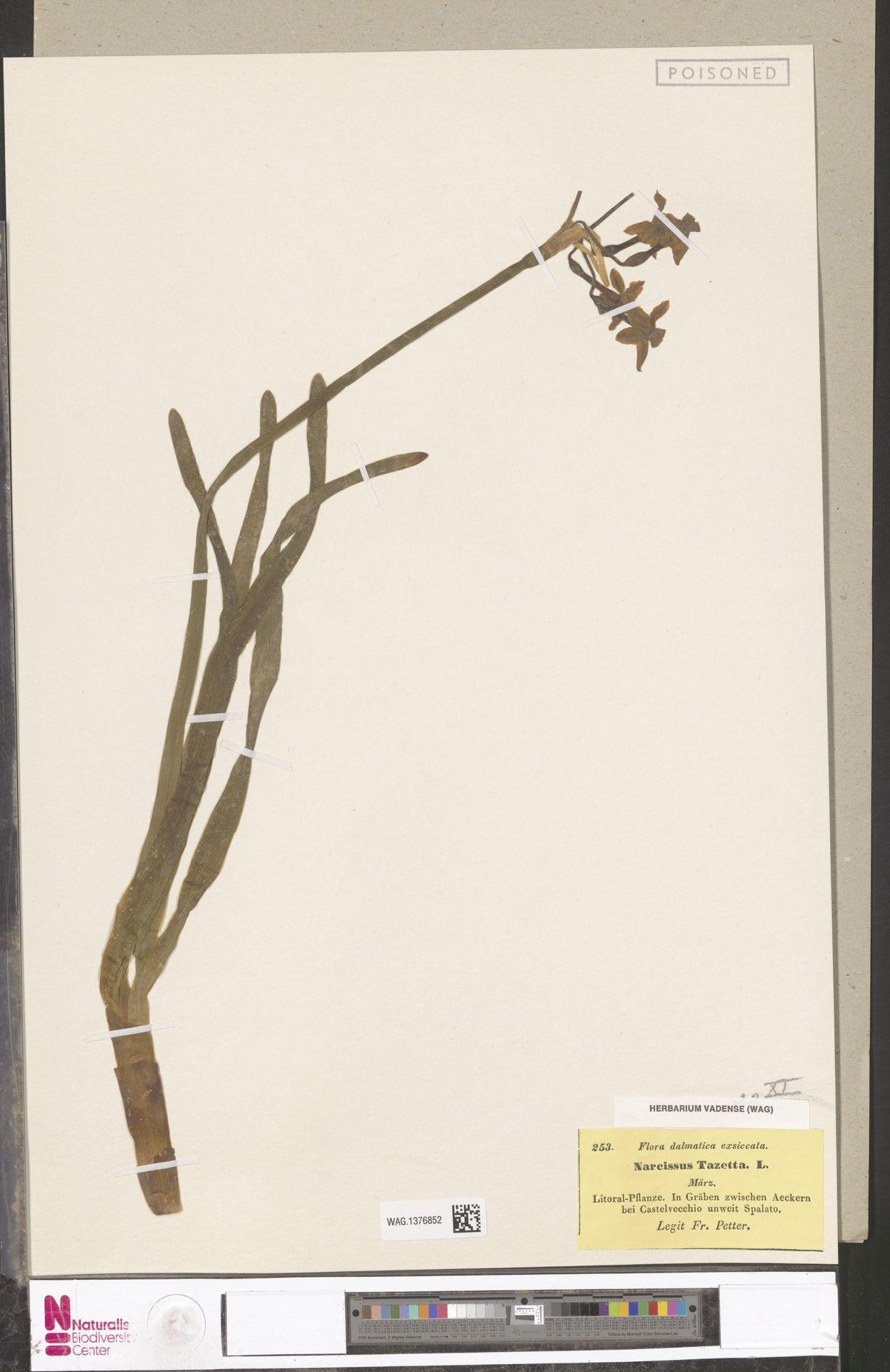 WAG.1376852 | Narcissus tazetta L.