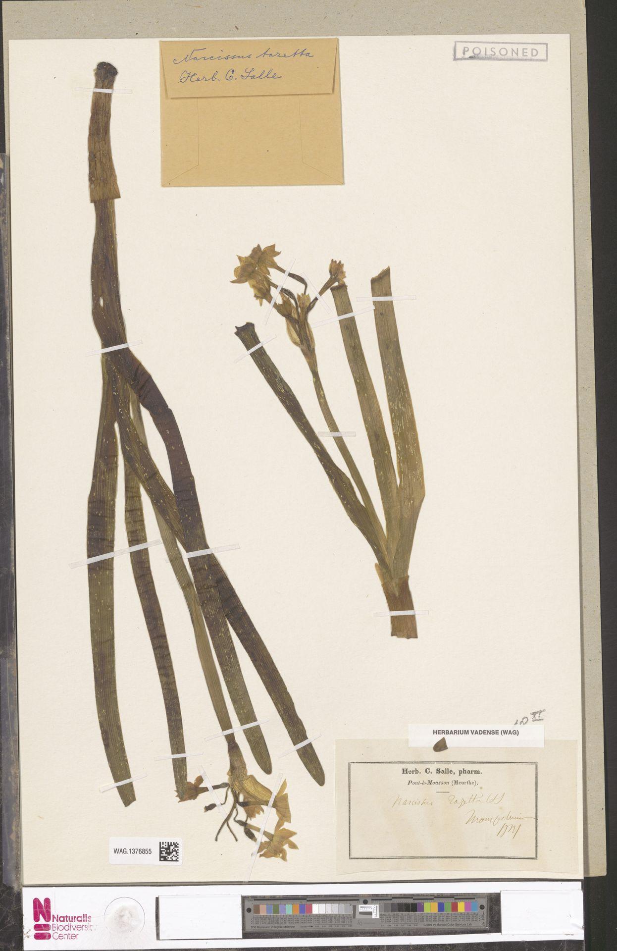 WAG.1376855 | Narcissus tazetta L.