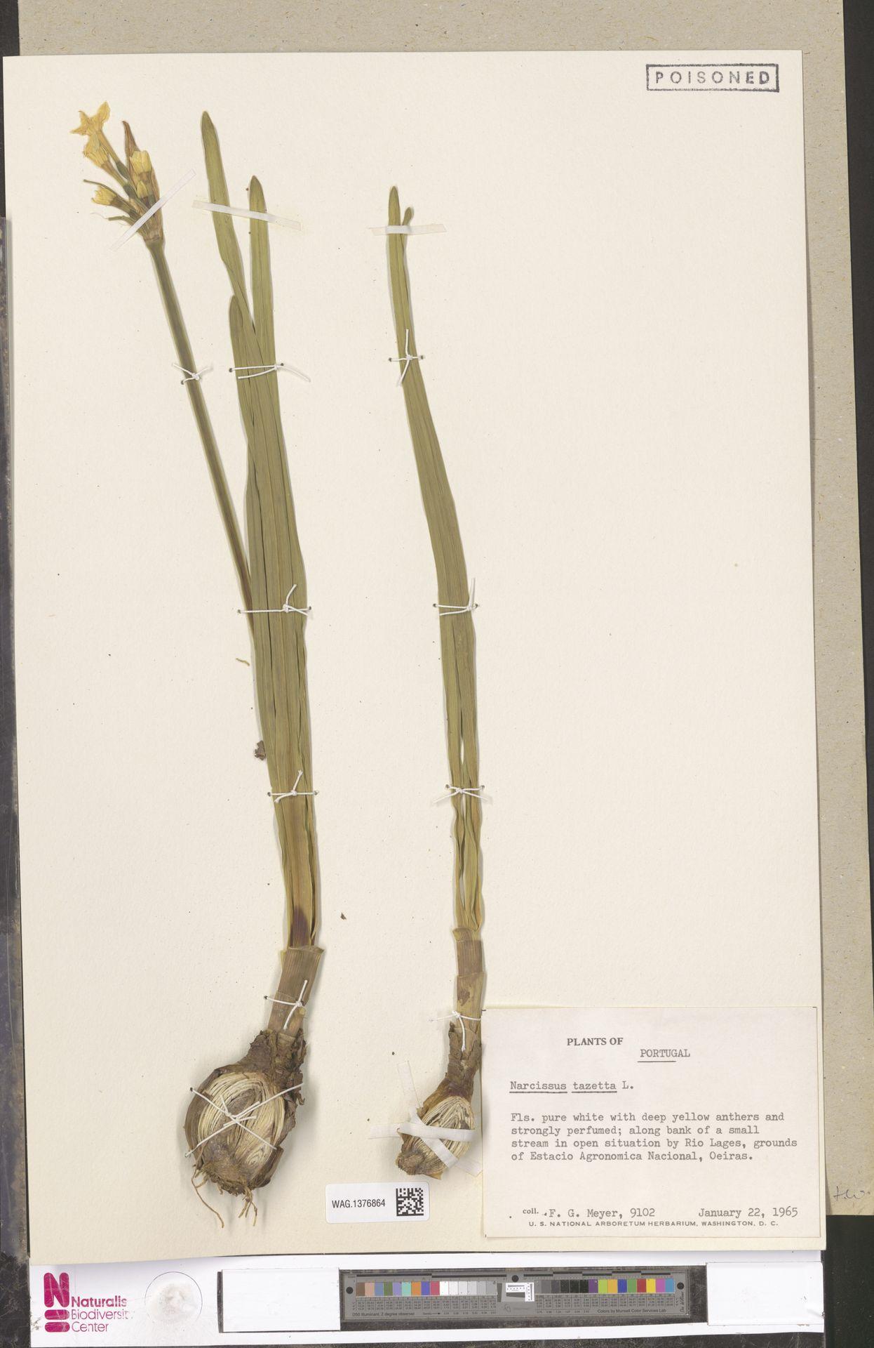 WAG.1376864 | Narcissus tazetta L.