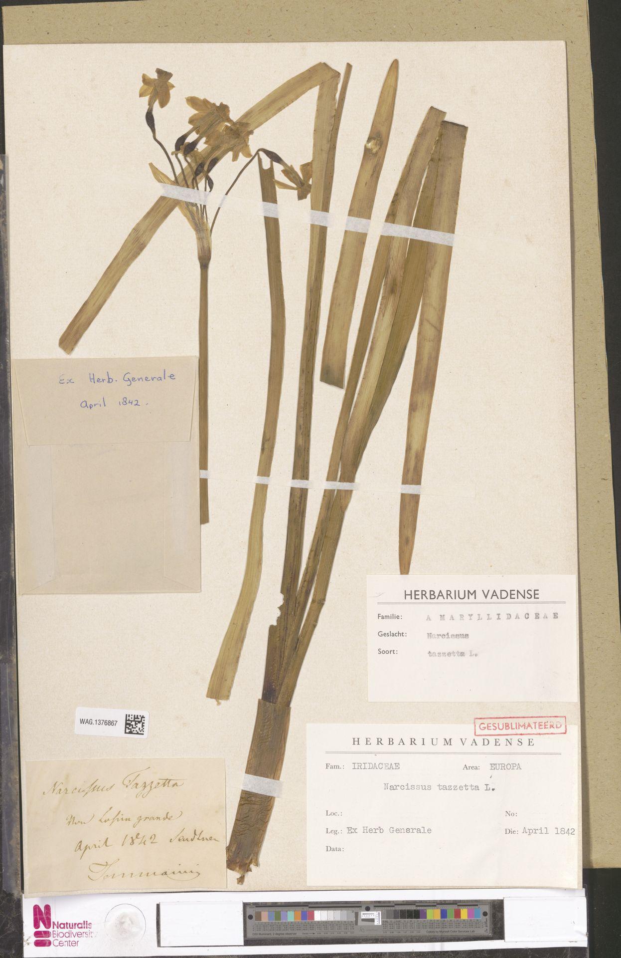 WAG.1376867 | Narcissus tazetta L.