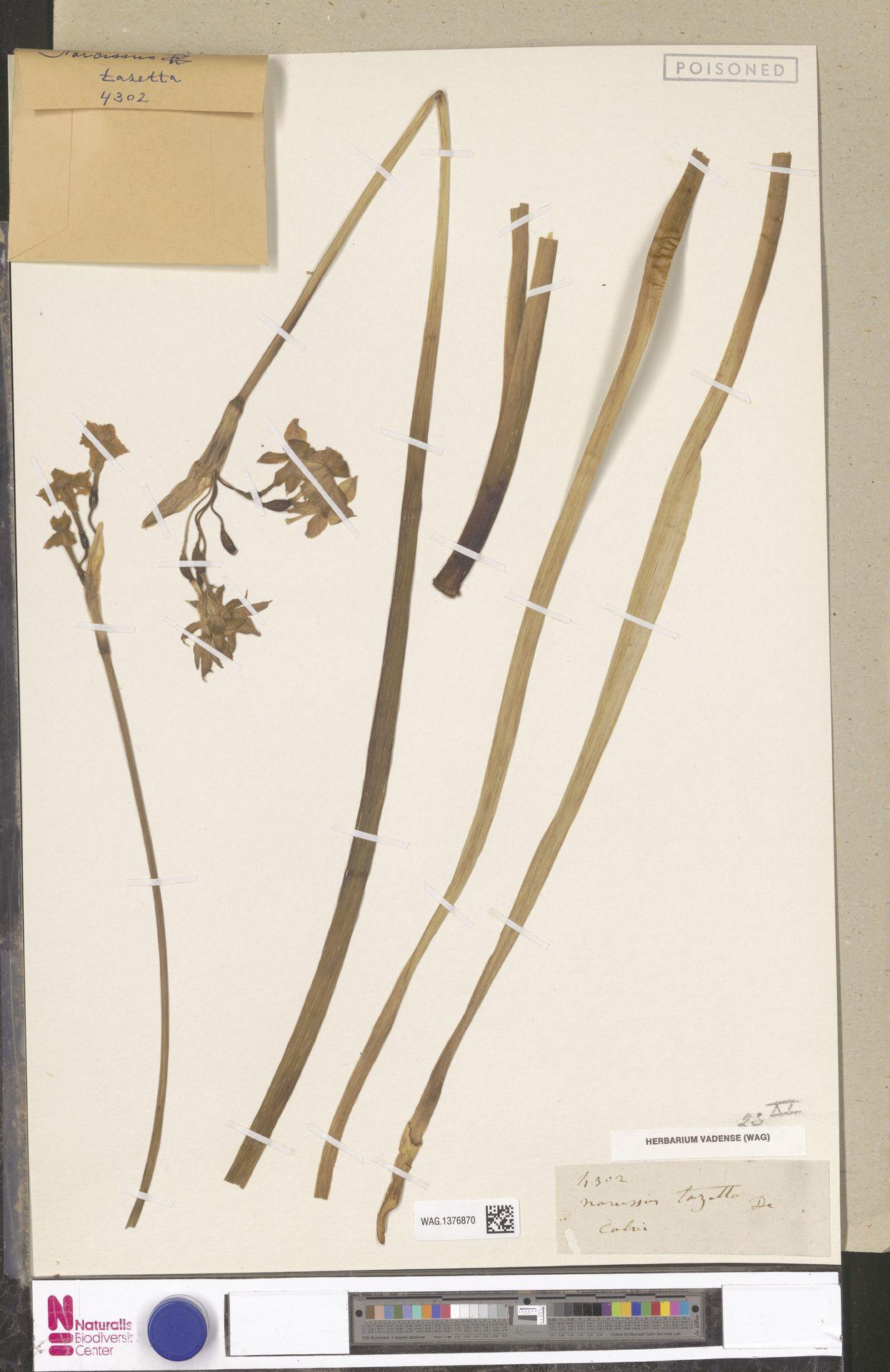 WAG.1376870 | Narcissus tazetta L.