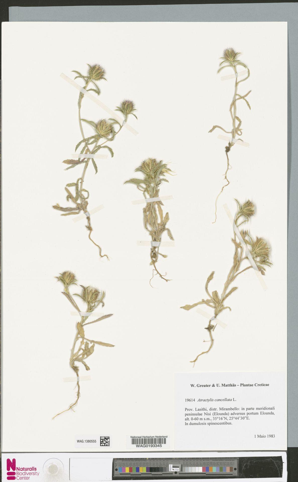 WAG.1380555 | Atractylis cancellata L.