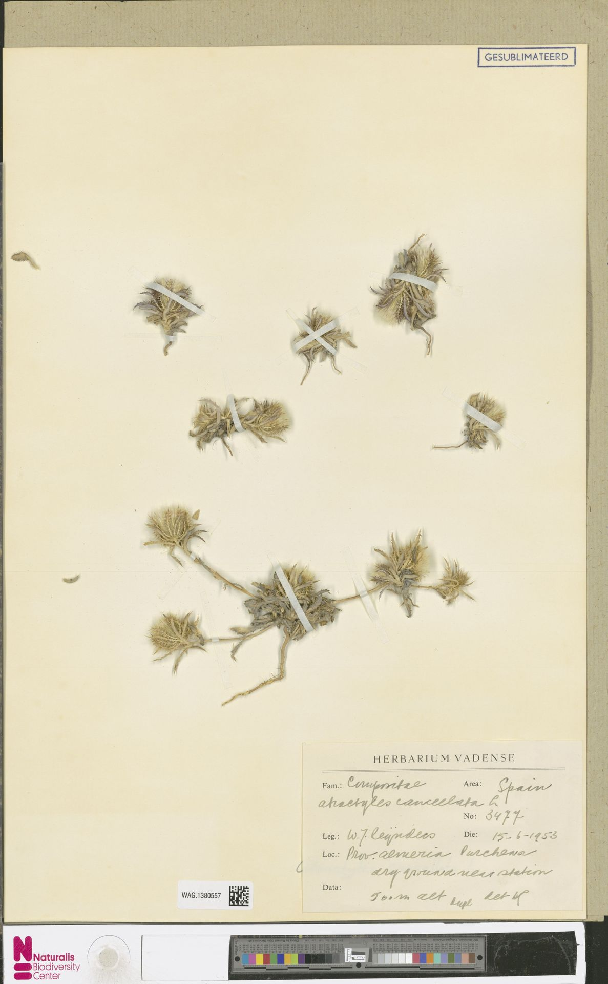 WAG.1380557 | Atractylis cancellata L.