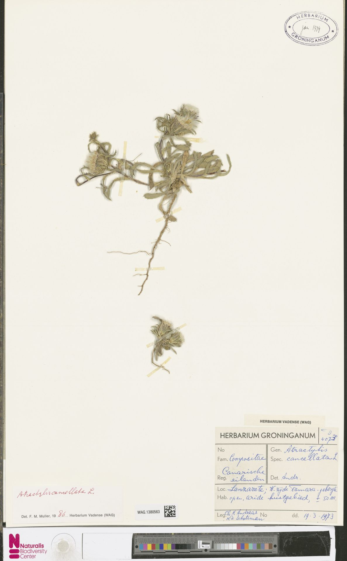 WAG.1380563 | Atractylis cancellata L.