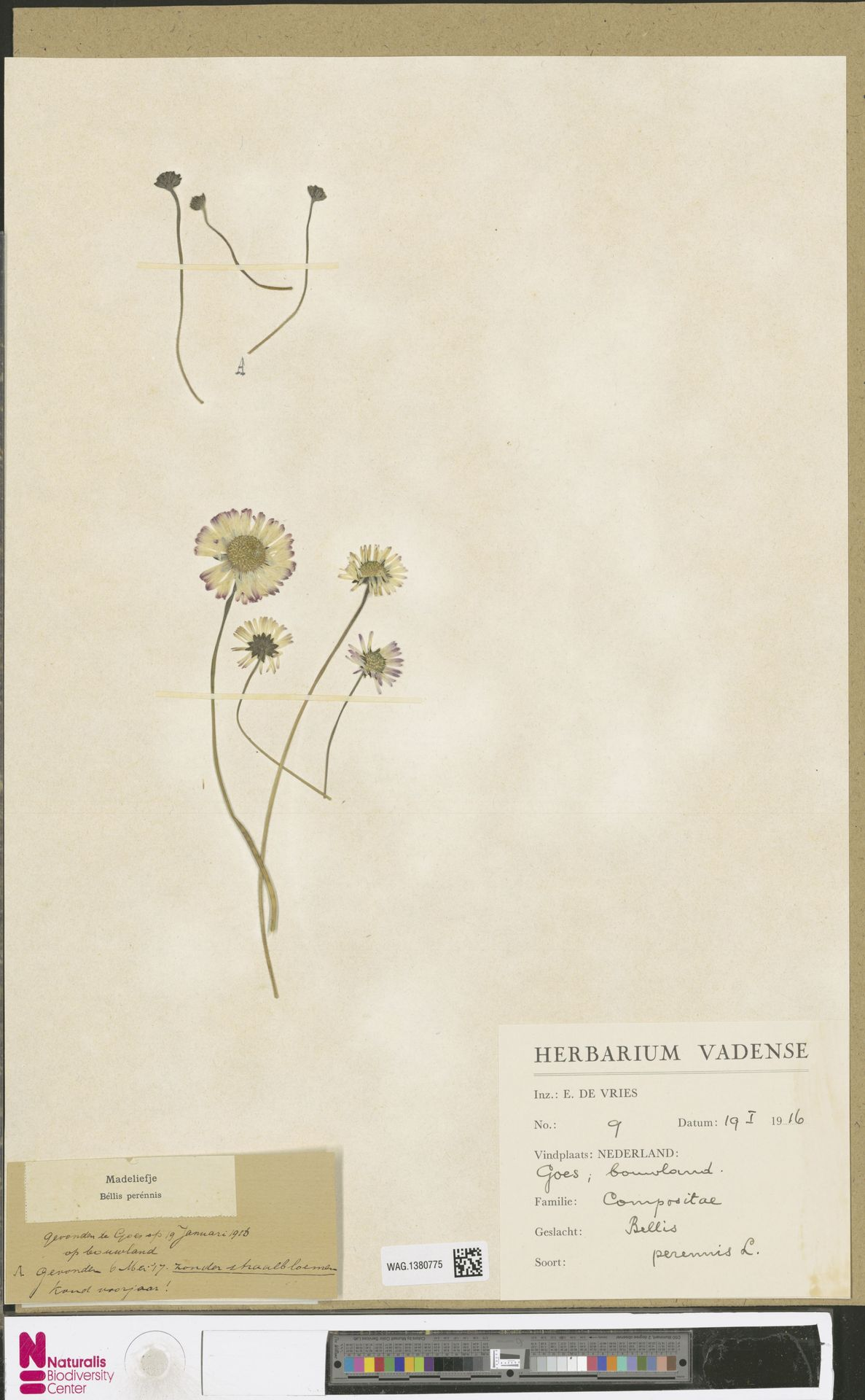 WAG.1380775 | Bellis perennis L.