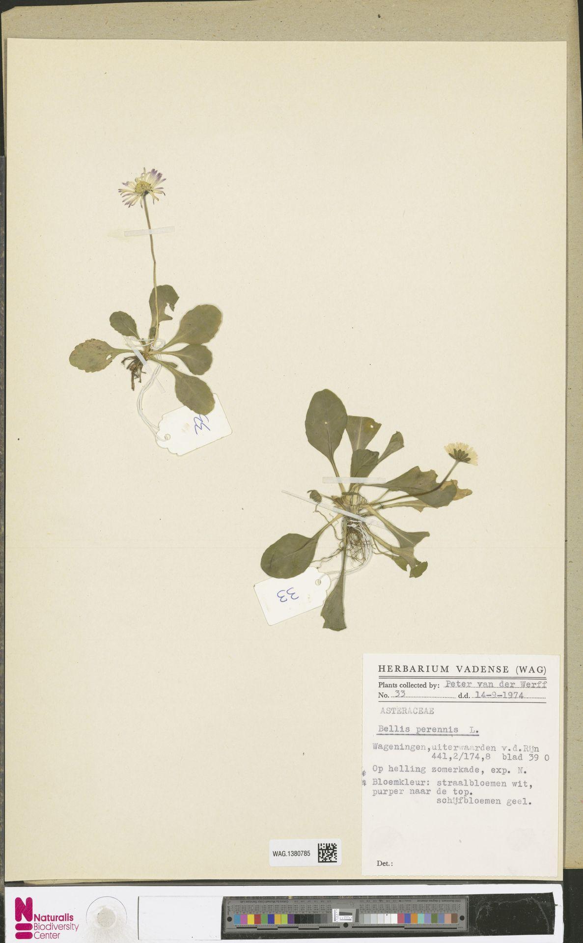 WAG.1380785 | Bellis perennis L.