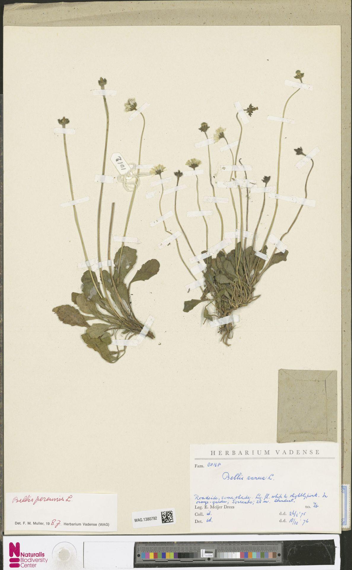 WAG.1380792 | Bellis perennis L.